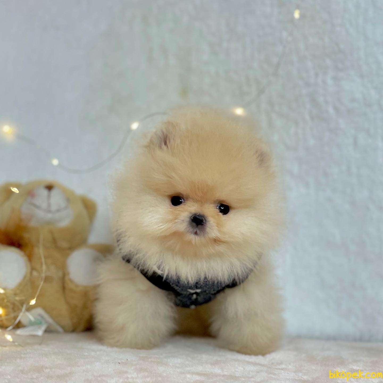 Pomeranian Boo Ayicik Surat Yavrular 3