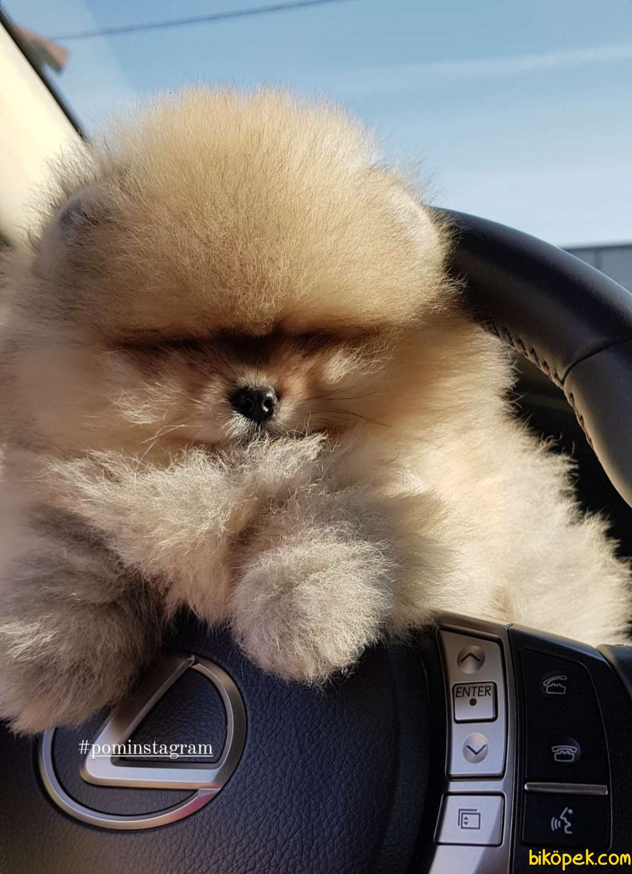 Pomeranian Boo Ayicik Suratlı Yavrularımız Safkan Belgeli 1