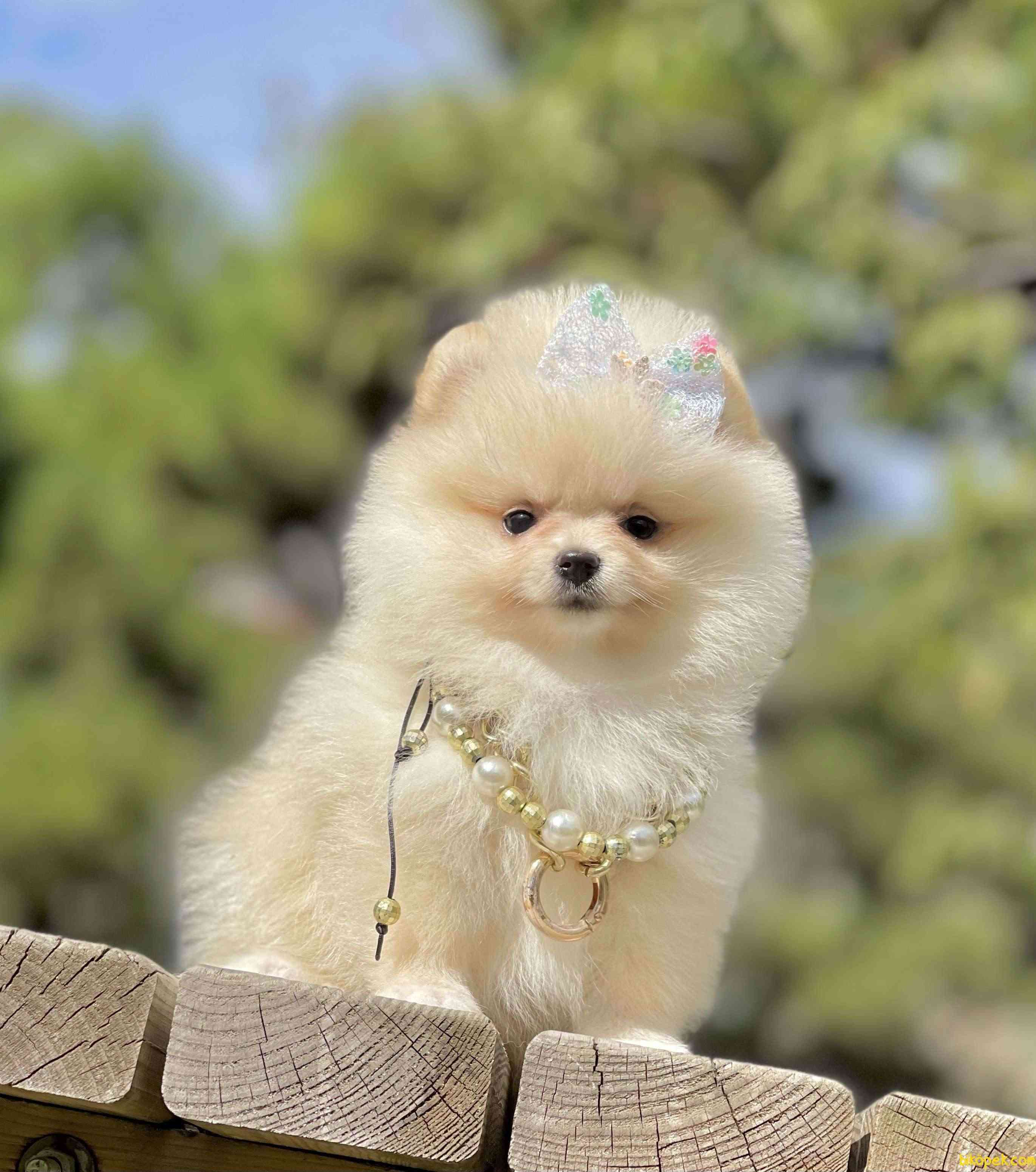 Pomeranian Boo Ayicik Tip Yavrularımız 4