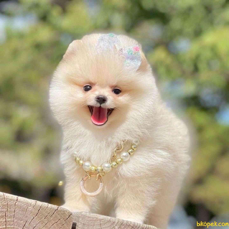 Pomeranian Boo Ayicik Tip Yavrularımız 3