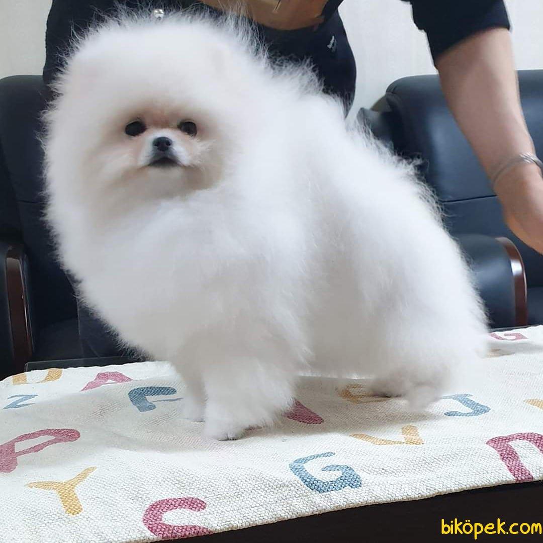 Pomeranian Boo Bebeklerimiz 2