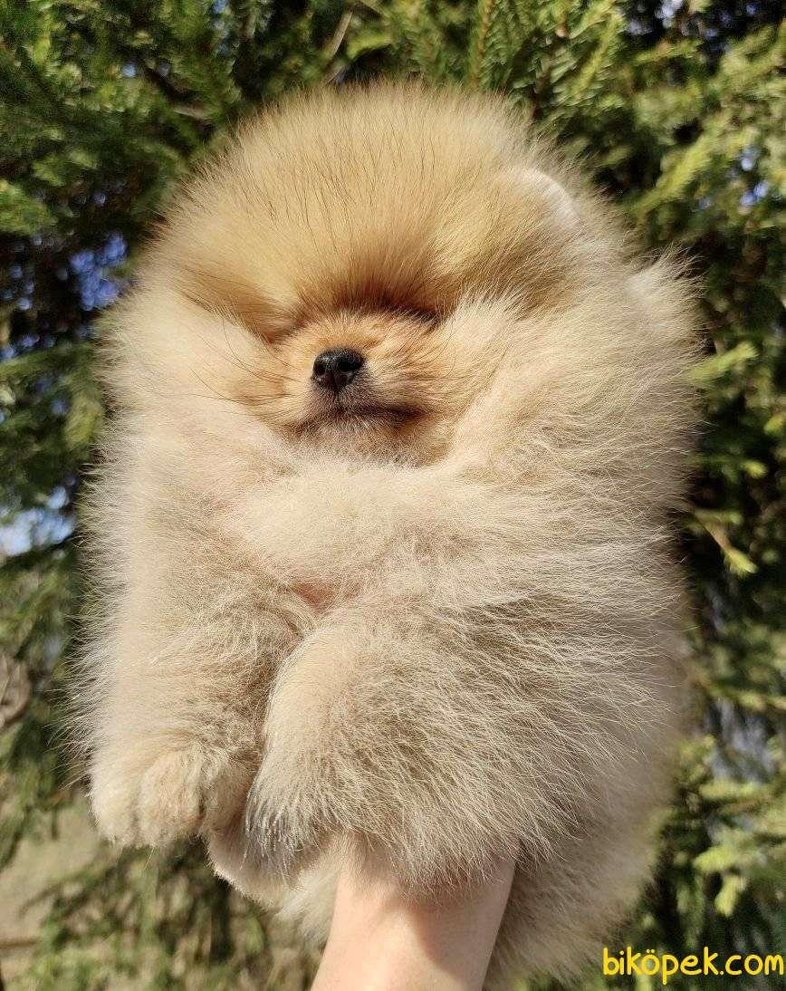 Pomeranian Boo Safkan Ayı Surat Yavrularımız 3