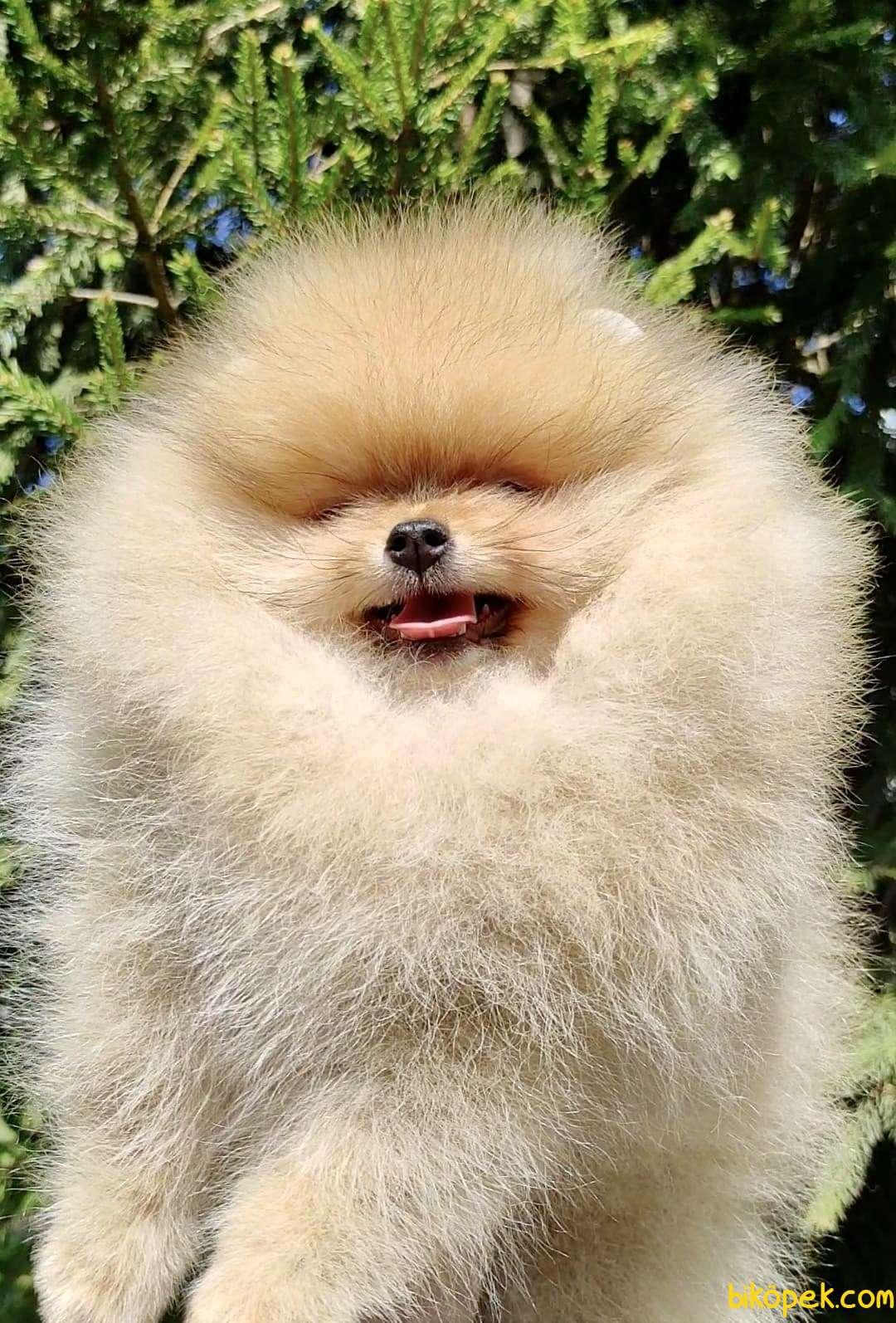 Pomeranian Boo Safkan Ayı Surat Yavrularımız 1