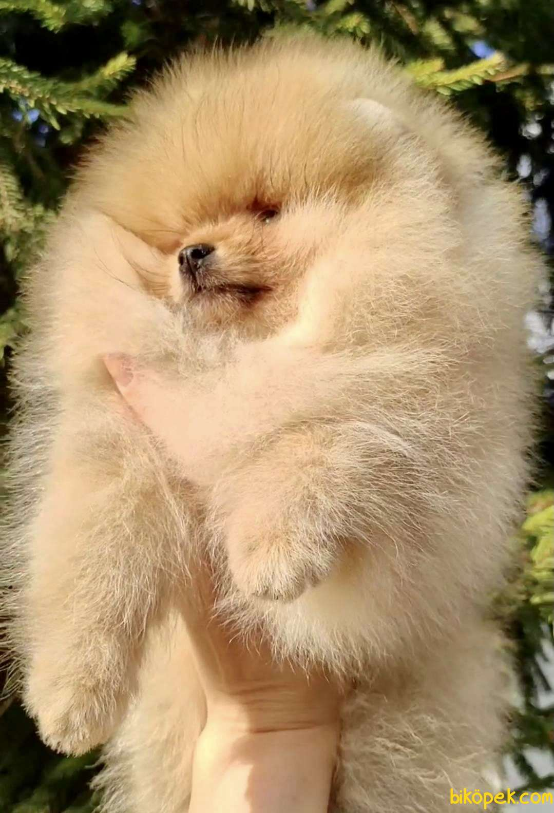 Pomeranian Boo Safkan Ayı Surat Yavrularımız 4