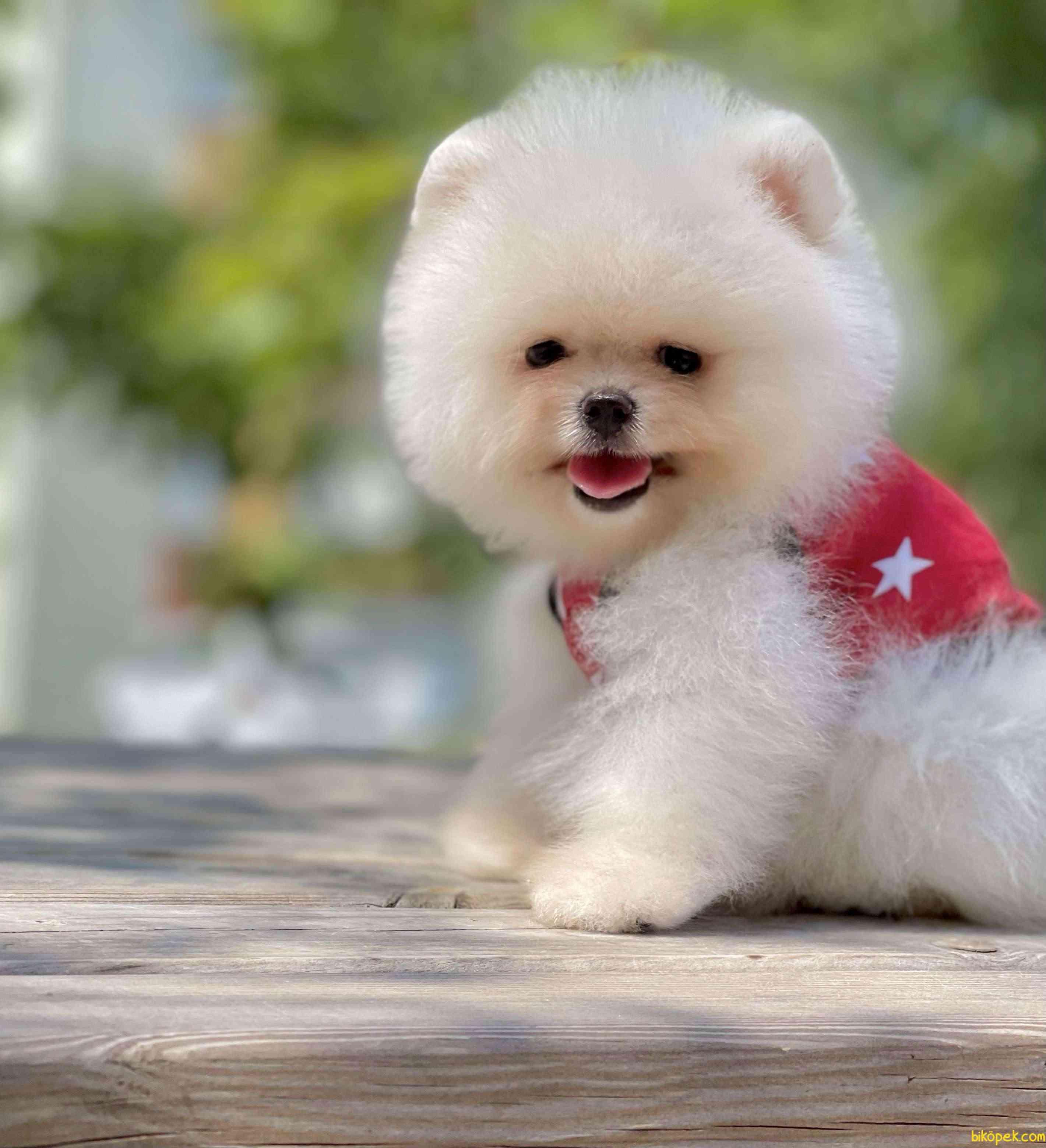 Pomeranian Boo Safkan Ayicik Tip Yavrularımız 1