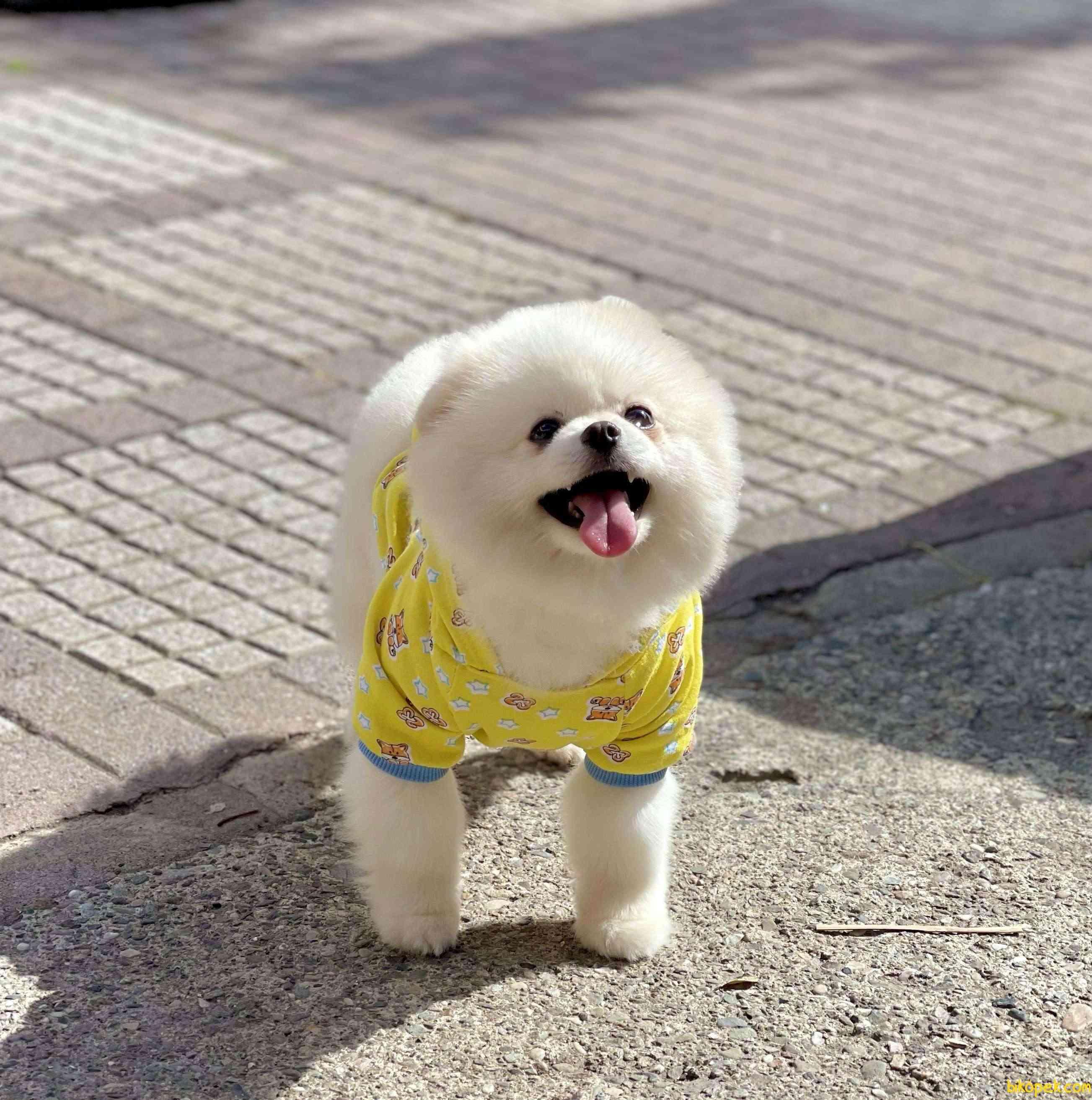 Pomeranian Boo Safkan Teddy Bear 3