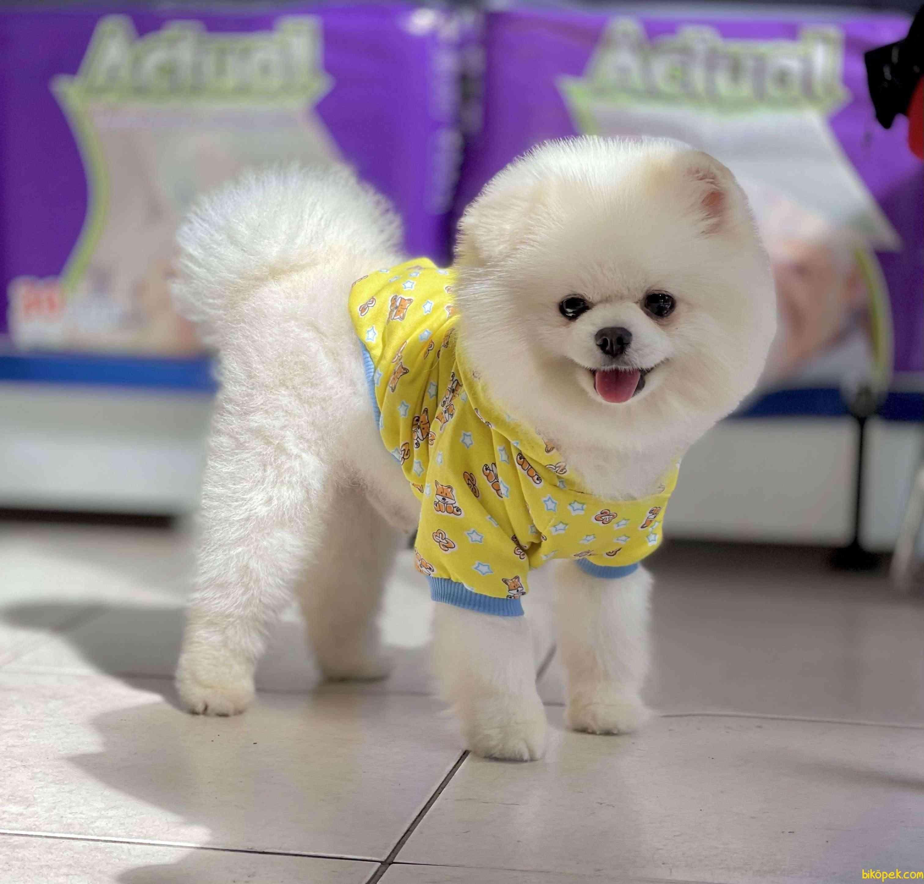 Pomeranian Boo Safkan Teddy Bear 5