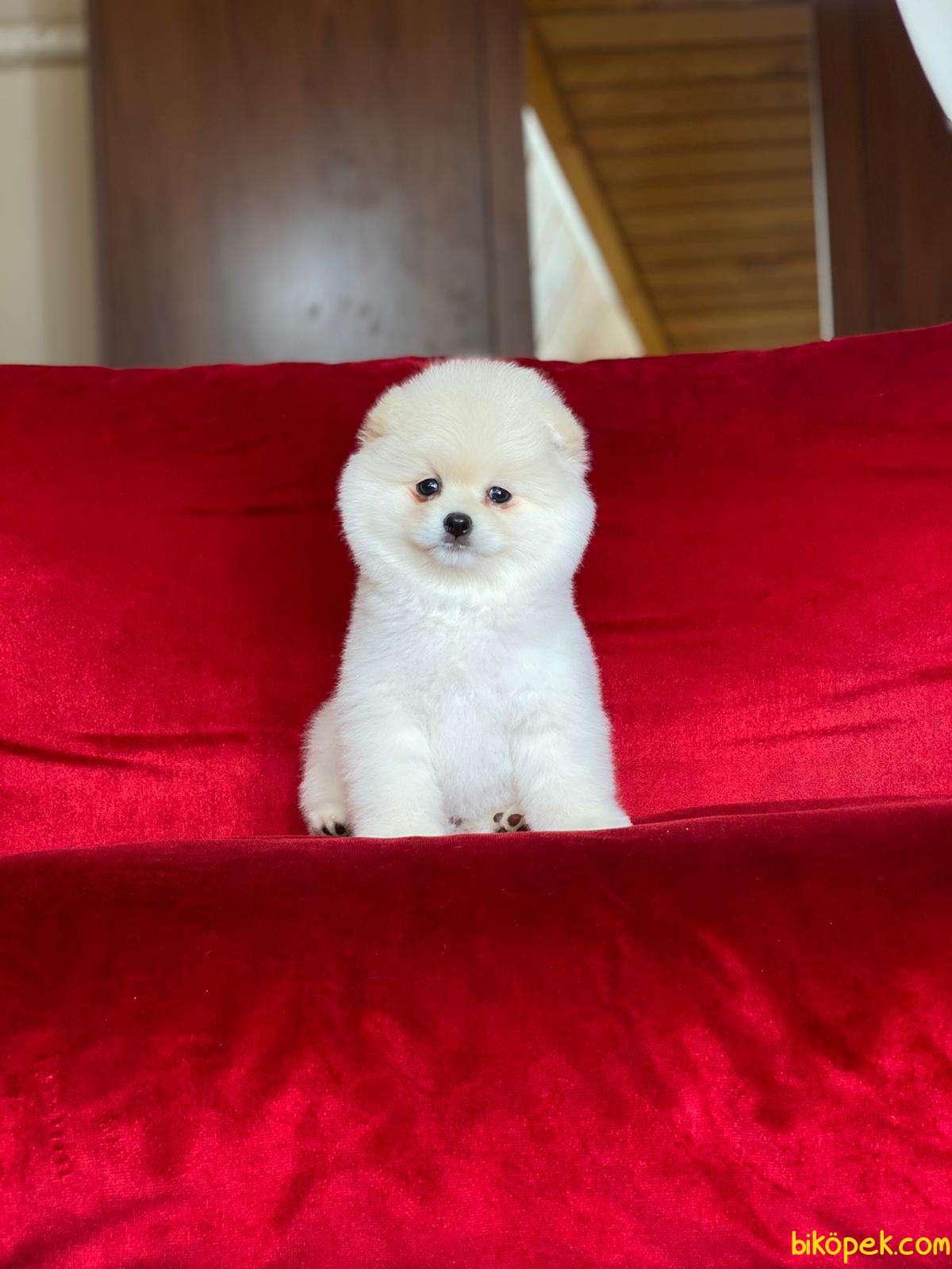Pomeranian Boo Teddy Bear 5