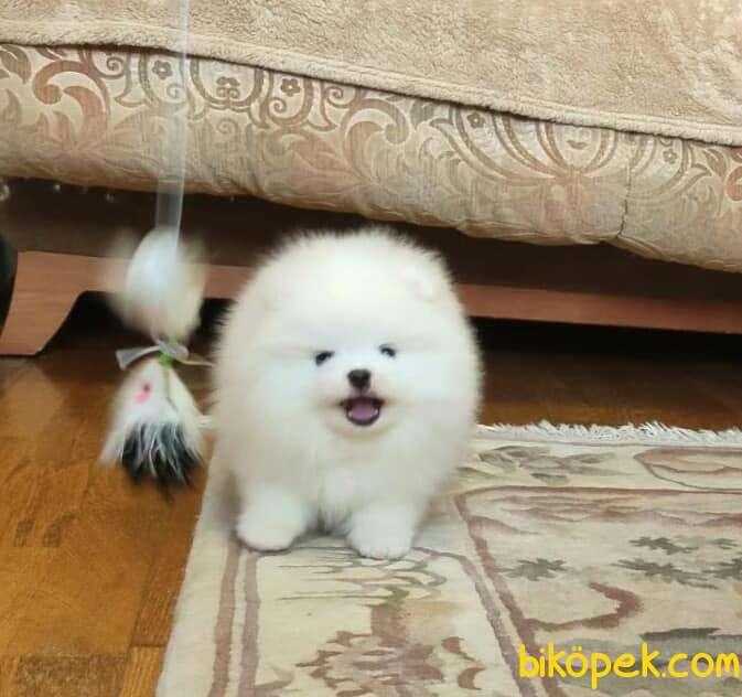 Pomeranian Boo Teddy Bear Yavrular 1