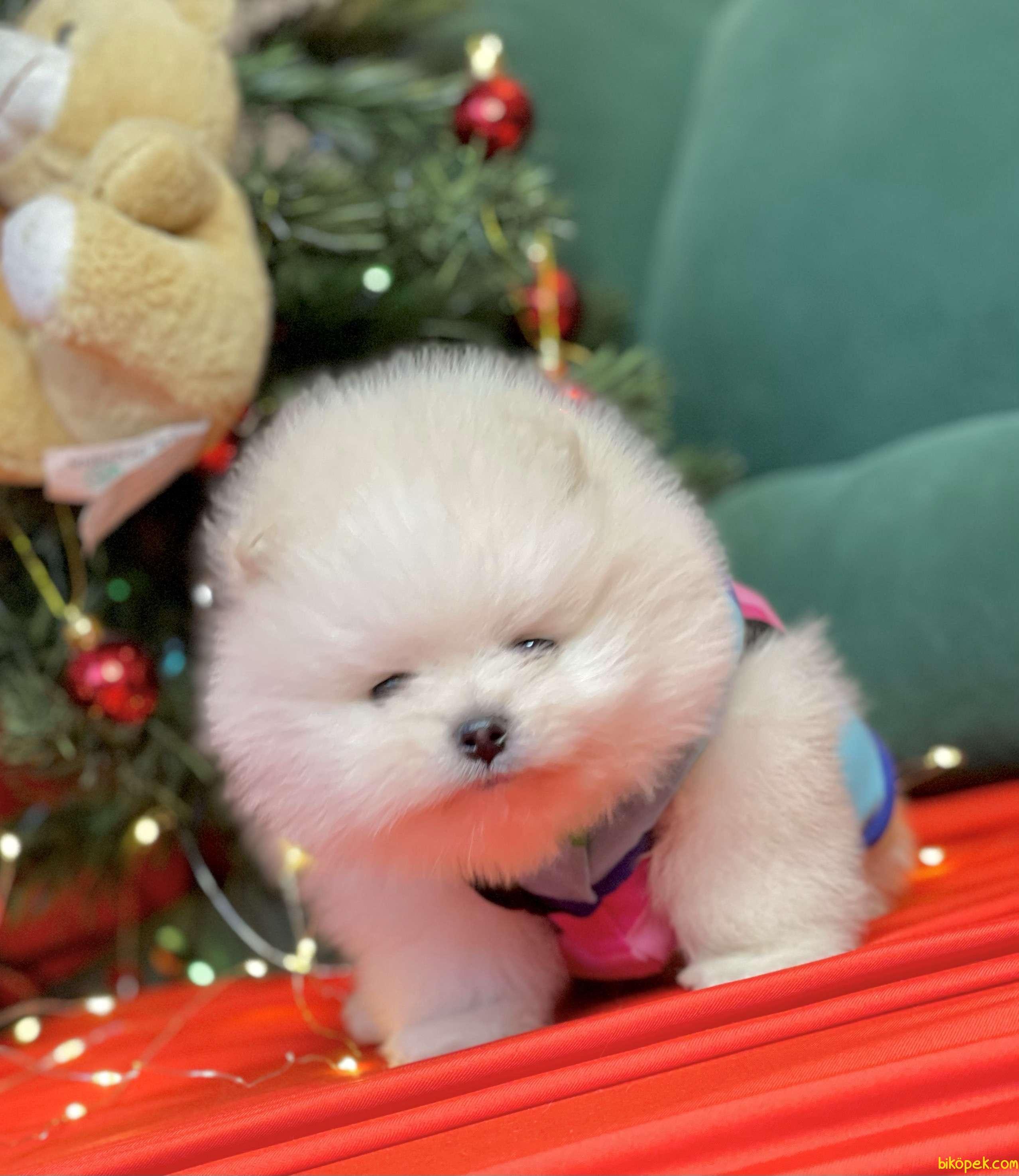 Pomeranian Boo Teddy Bear Yavrularımız Ayicik Suratlı 4