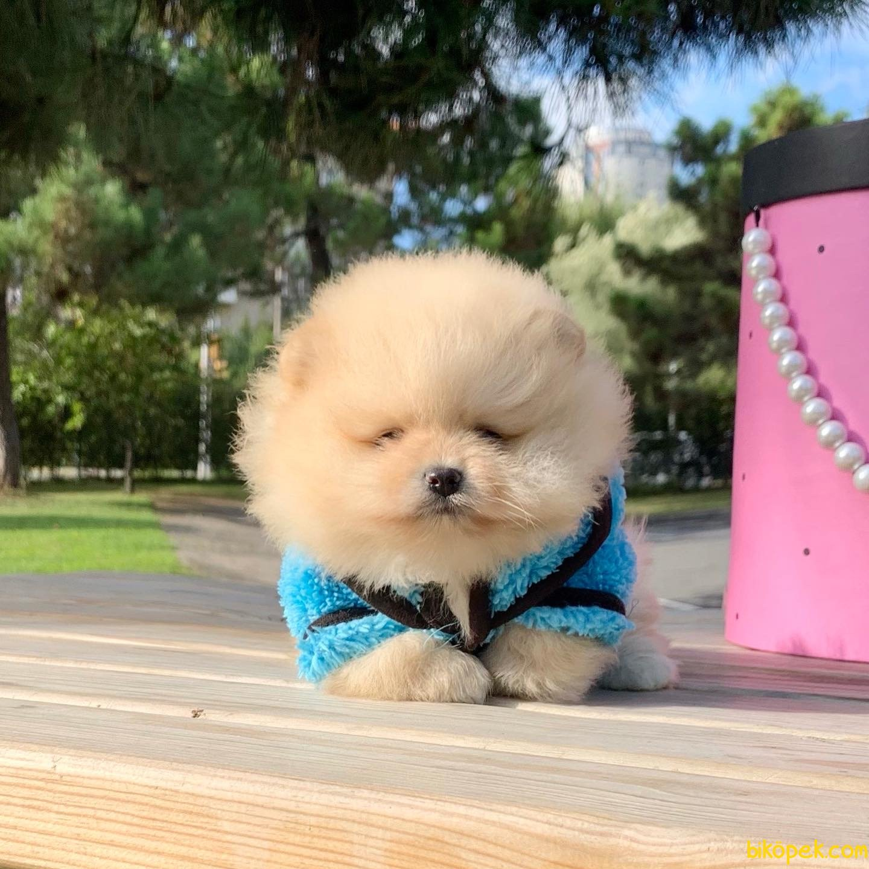 Pomeranian Boo Teddy Bear Yavrular  Safkan Ayiciklar 5