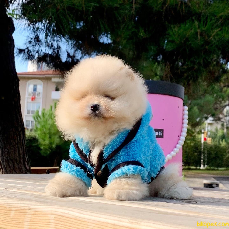 Pomeranian Boo Teddy Bear Yavrular  Safkan Ayiciklar 4