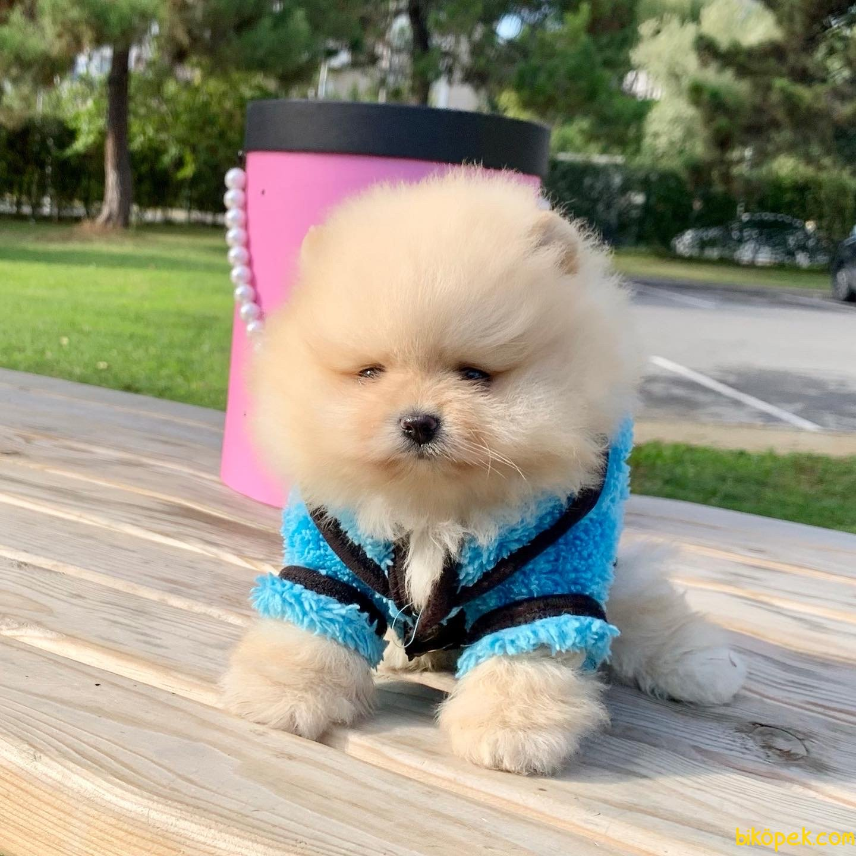 Pomeranian Boo Teddy Bear Yavrular  Safkan Ayiciklar 3