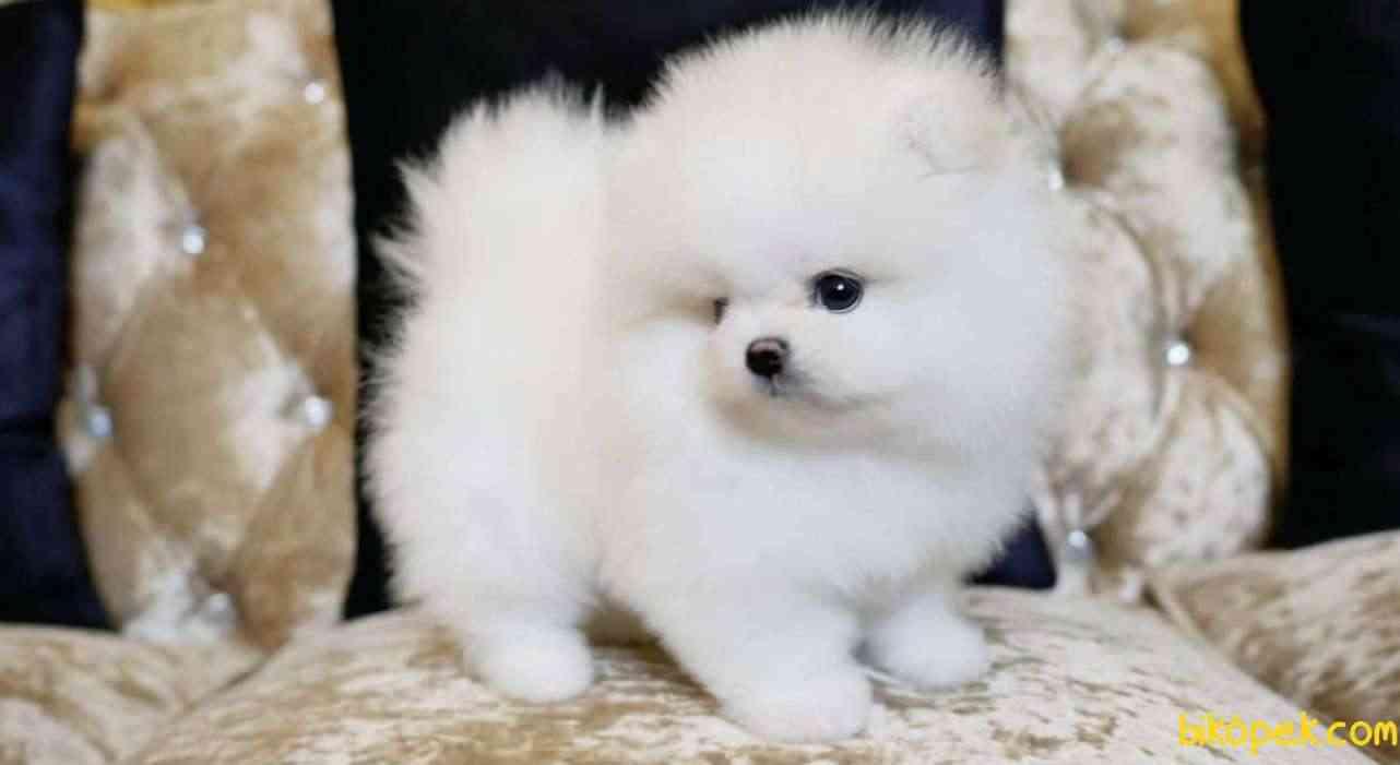 Pomeranian Boo Teddy Bear Yavrularımız 3