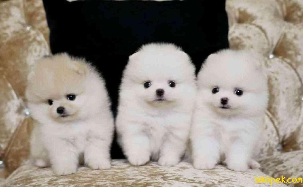 Pomeranian Boo Teddy Bear Yavrularımız 1