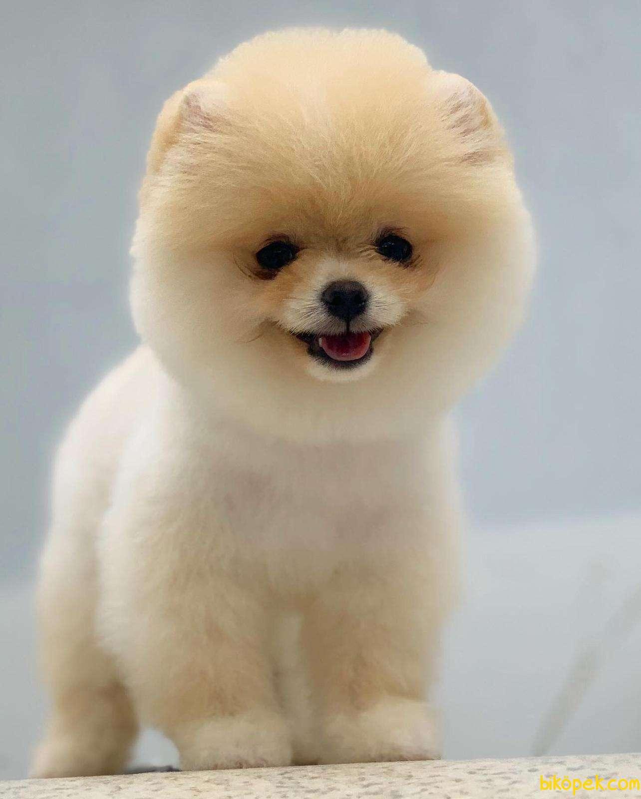 Pomeranian Boo Tedy Bear 1