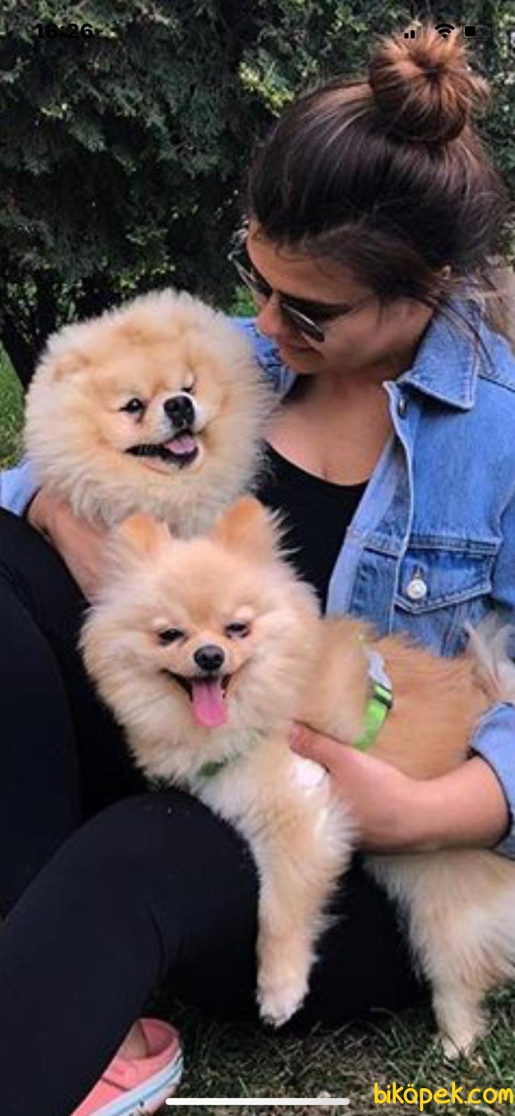 Pomeranian Boo Yavrularımız 3