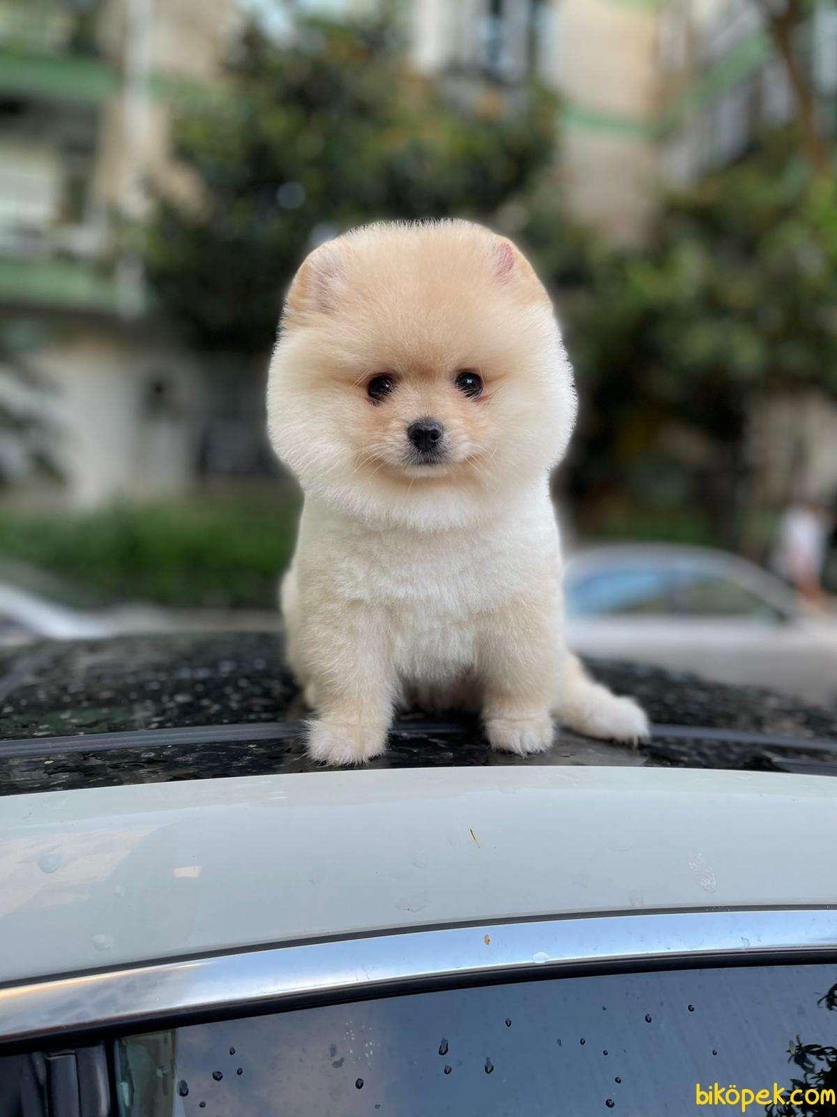 Pomeranian Booo 2