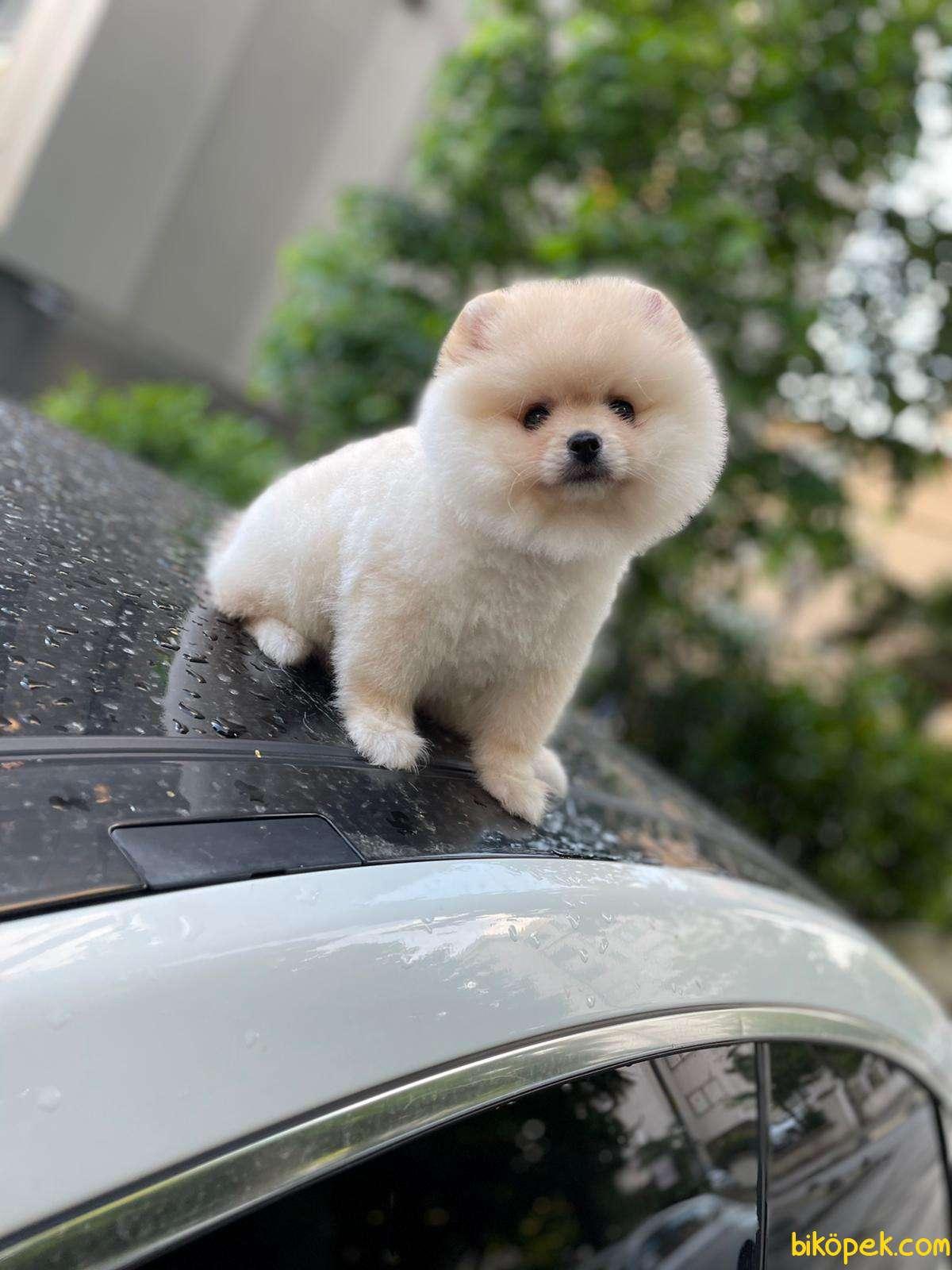 Pomeranian Booo 1