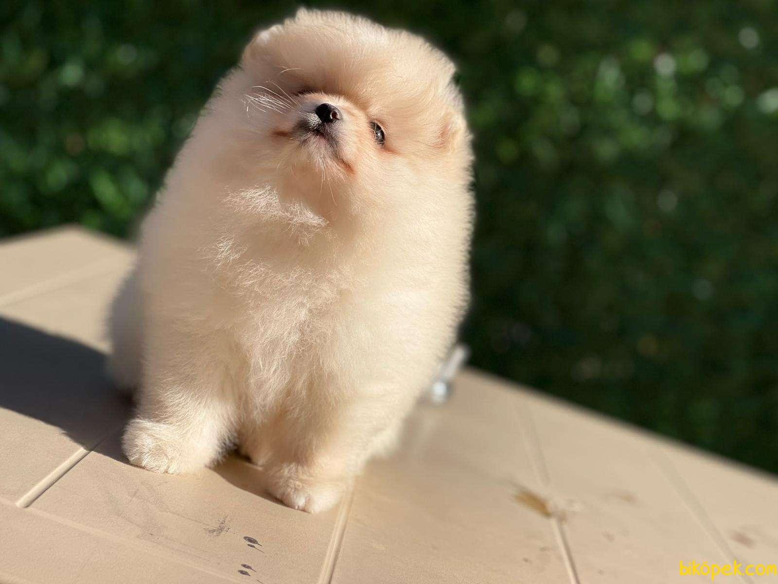 Pomeranian Teddy Bear 3