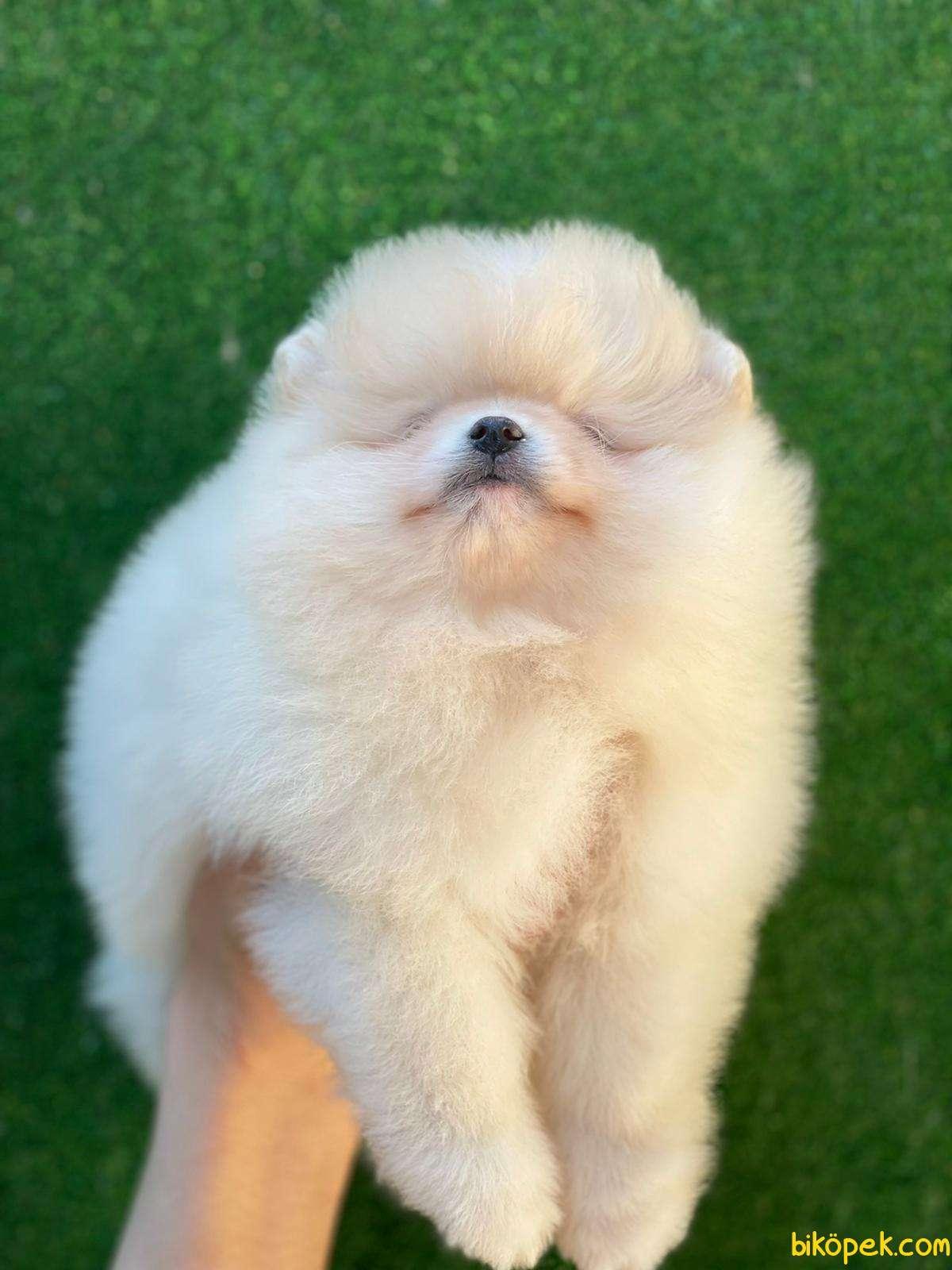 Pomeranian Teddy Bear 4