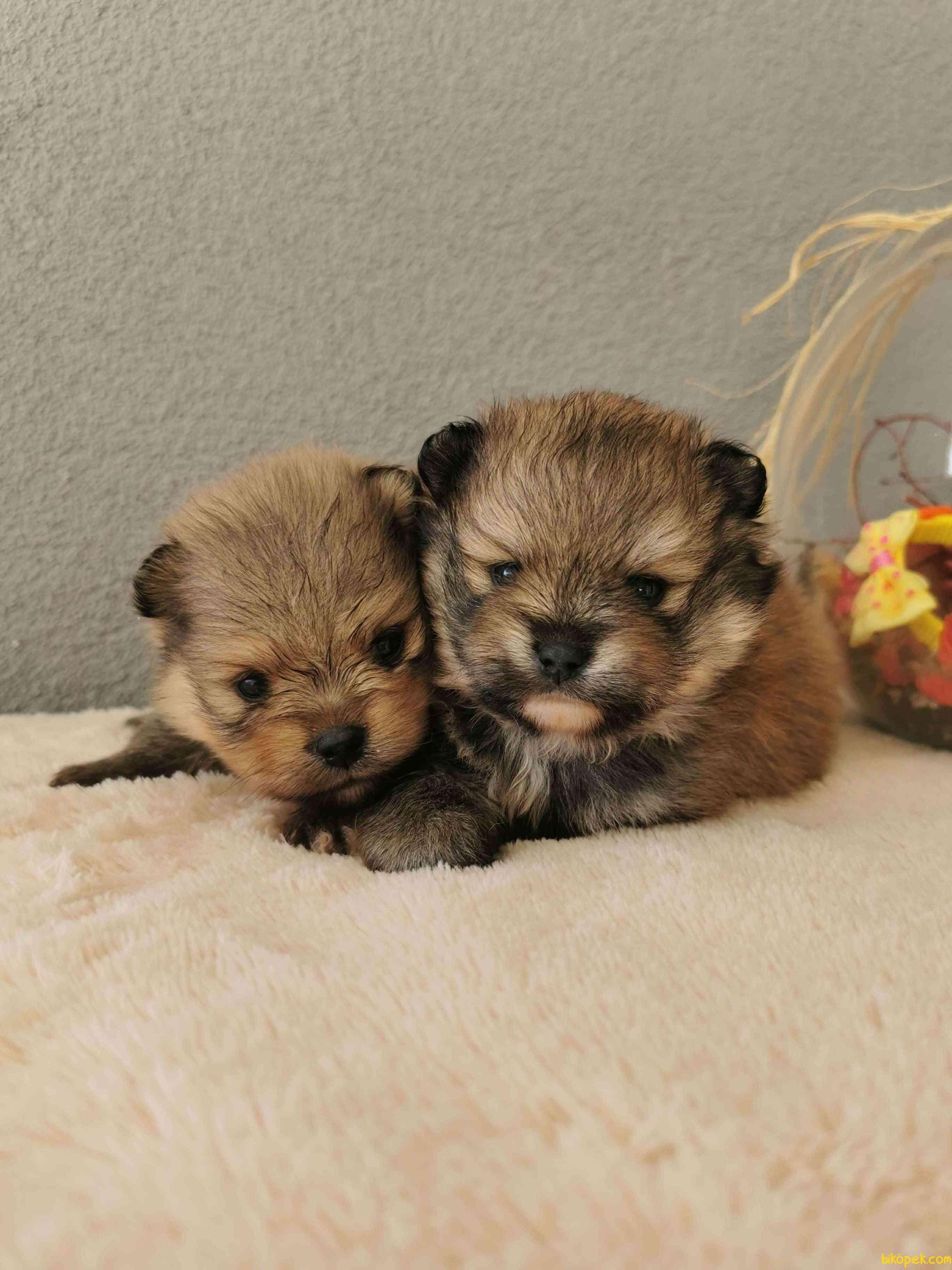 Pomeranian Tedy Bear Yavrularımız 3