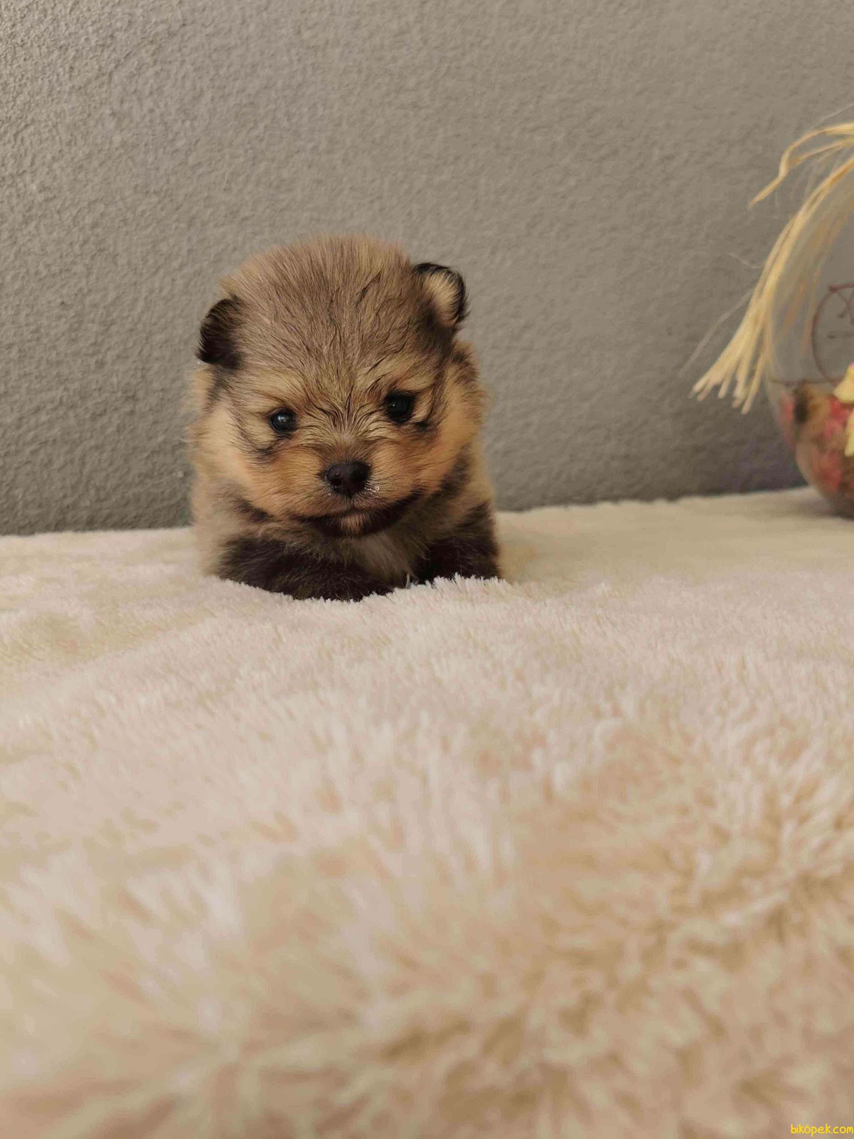 Pomeranian Tedy Bear Yavrularımız 1