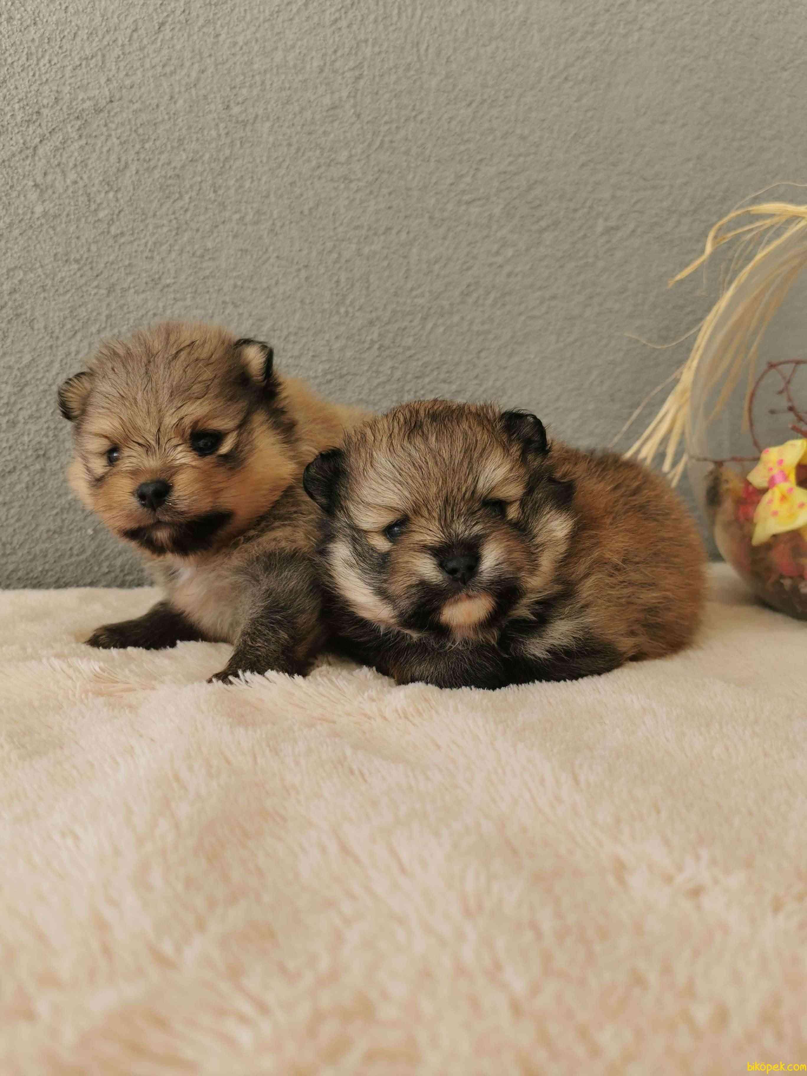 Pomeranian Tedy Bear Yavrularımız 4