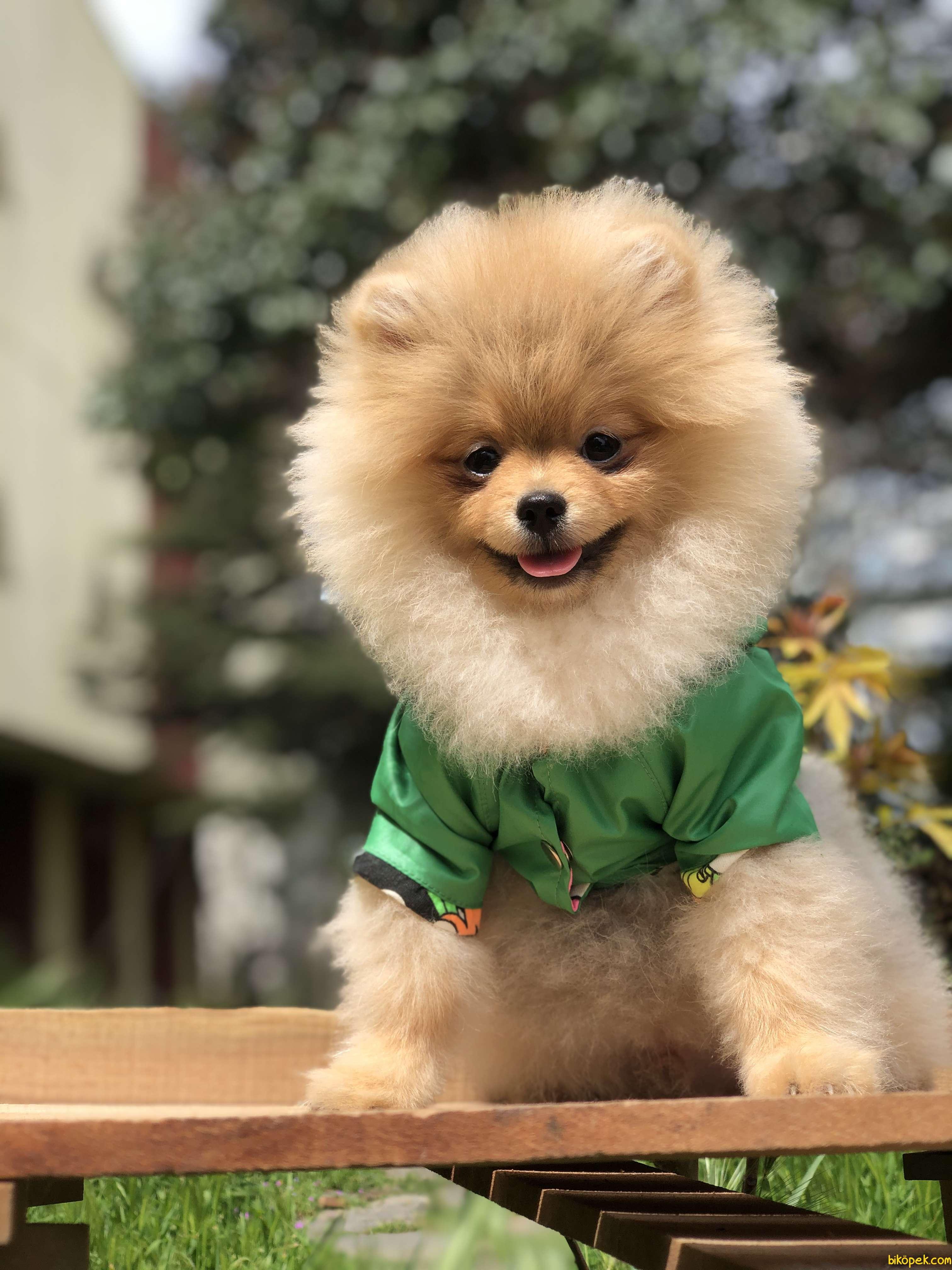 A Kalite Pomeranian Yavrular Gelmiştir 3