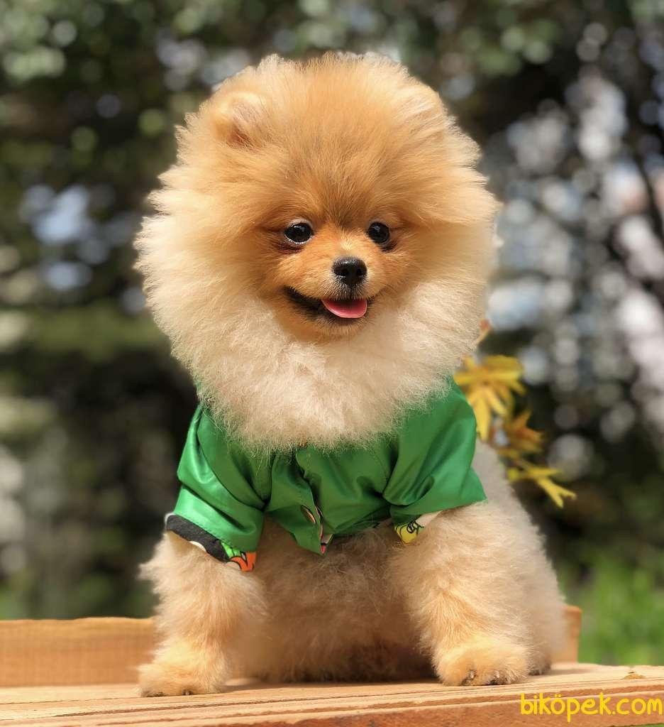 A Kalite Pomeranian Yavrular Gelmiştir 1