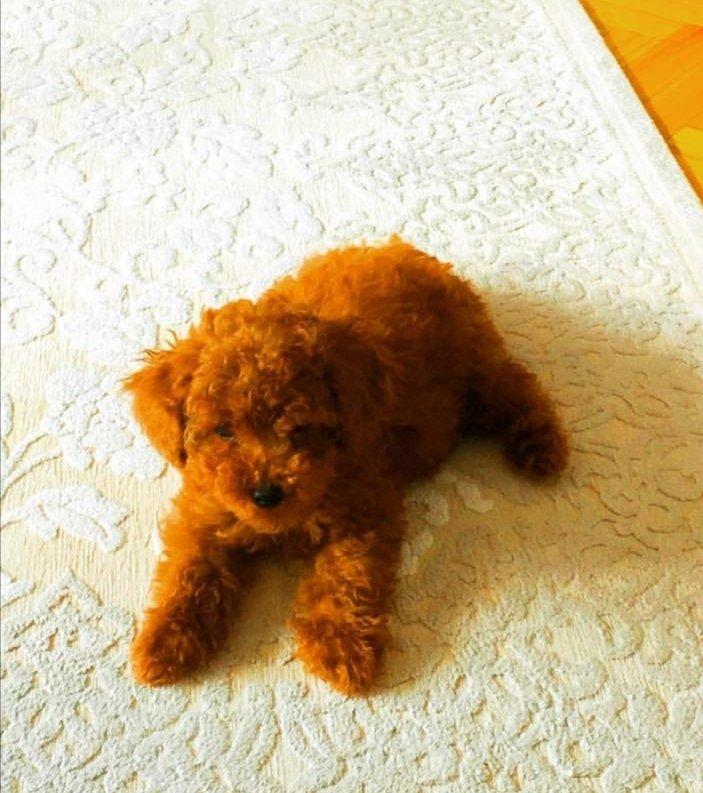 Poodle Yavrular 2