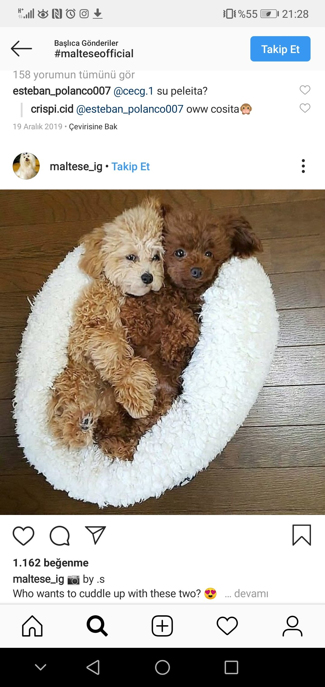 Poodle Yavrular 3