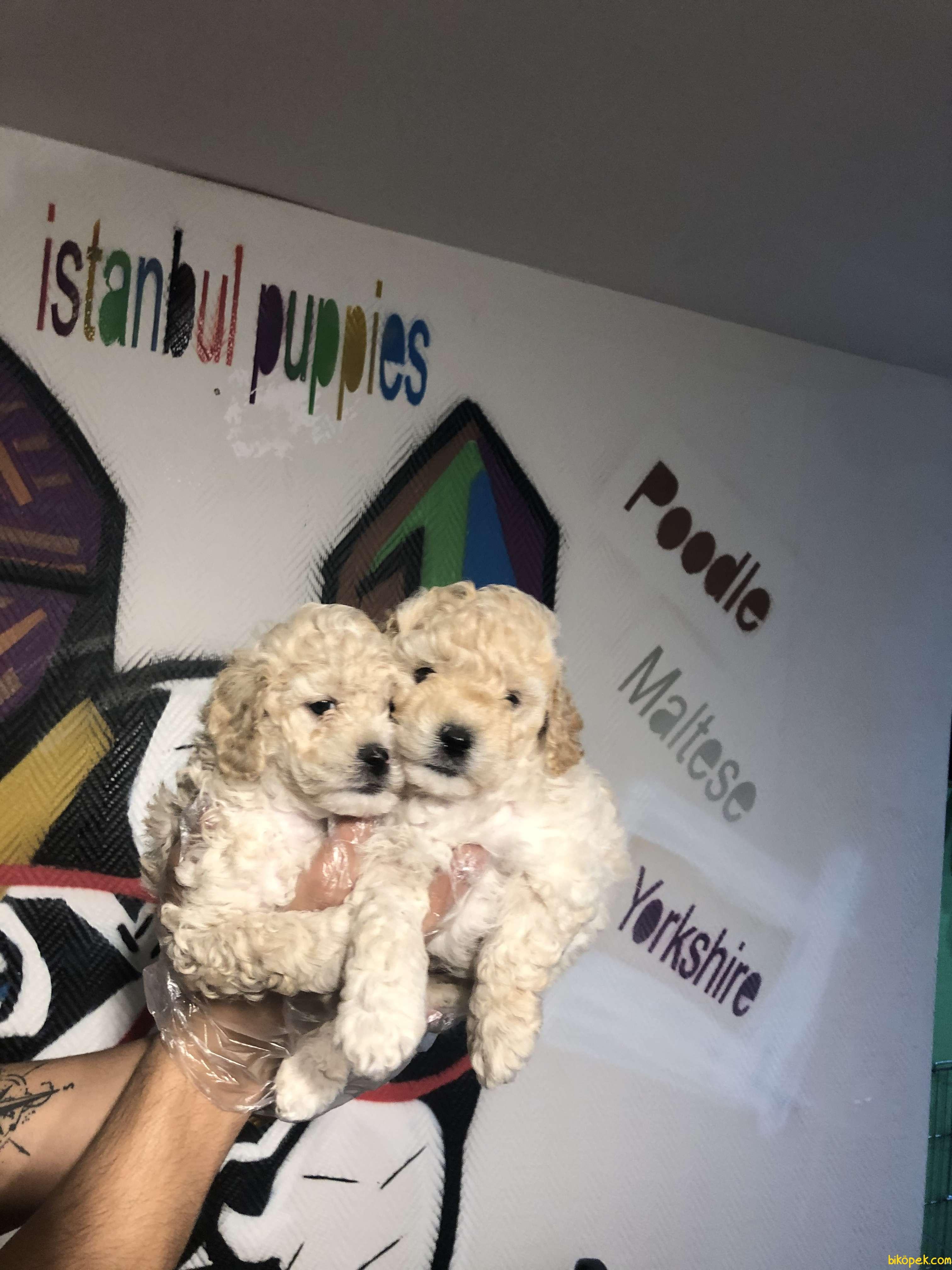 Poodle Yavrularımız Irk Ve Sağlık Garanti 3