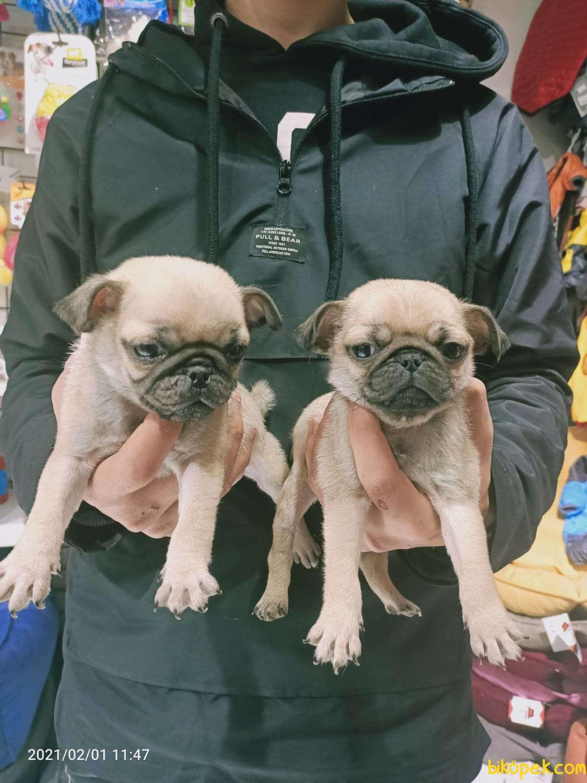 Pug Mops Yavruları 2