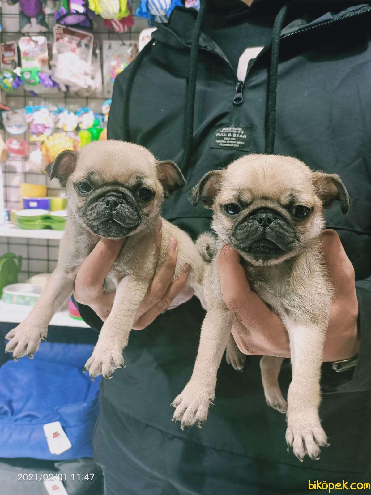 Pug Mops Yavruları 4