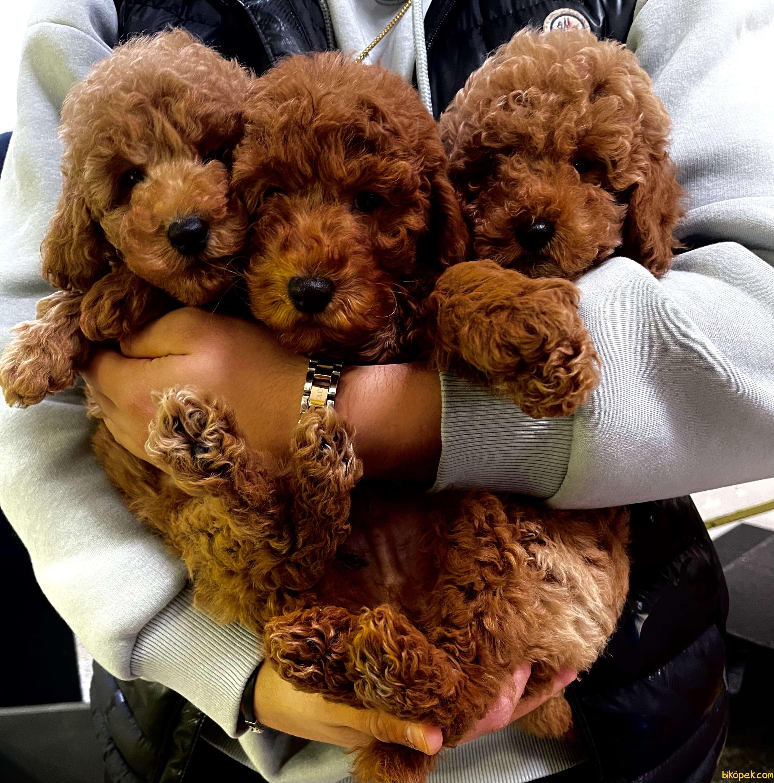Red Brown Mini Toy Poodle Bebeklerimiz 2