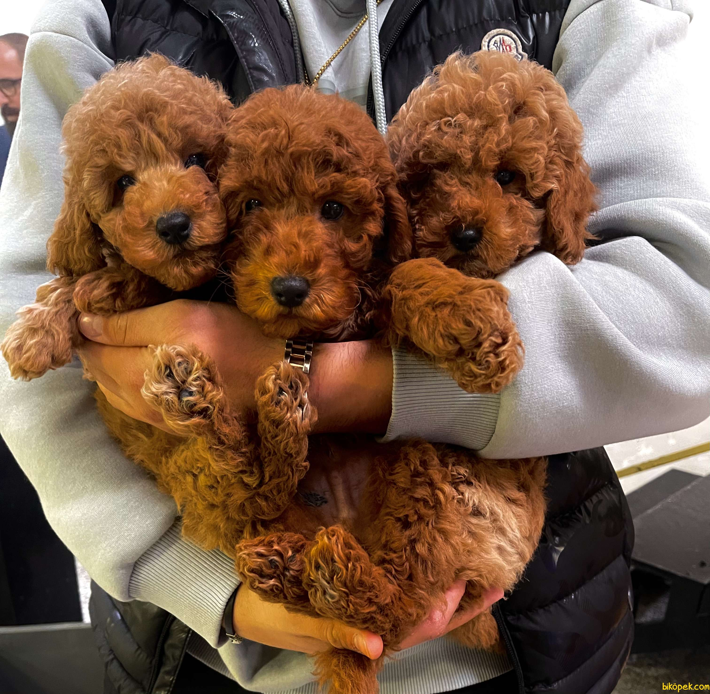 Red Brown Mini Toy Poodle Bebeklerimiz 3