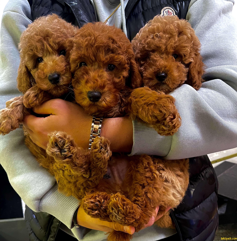 Red Brown Mini Toy Poodle Bebeklerimiz 1