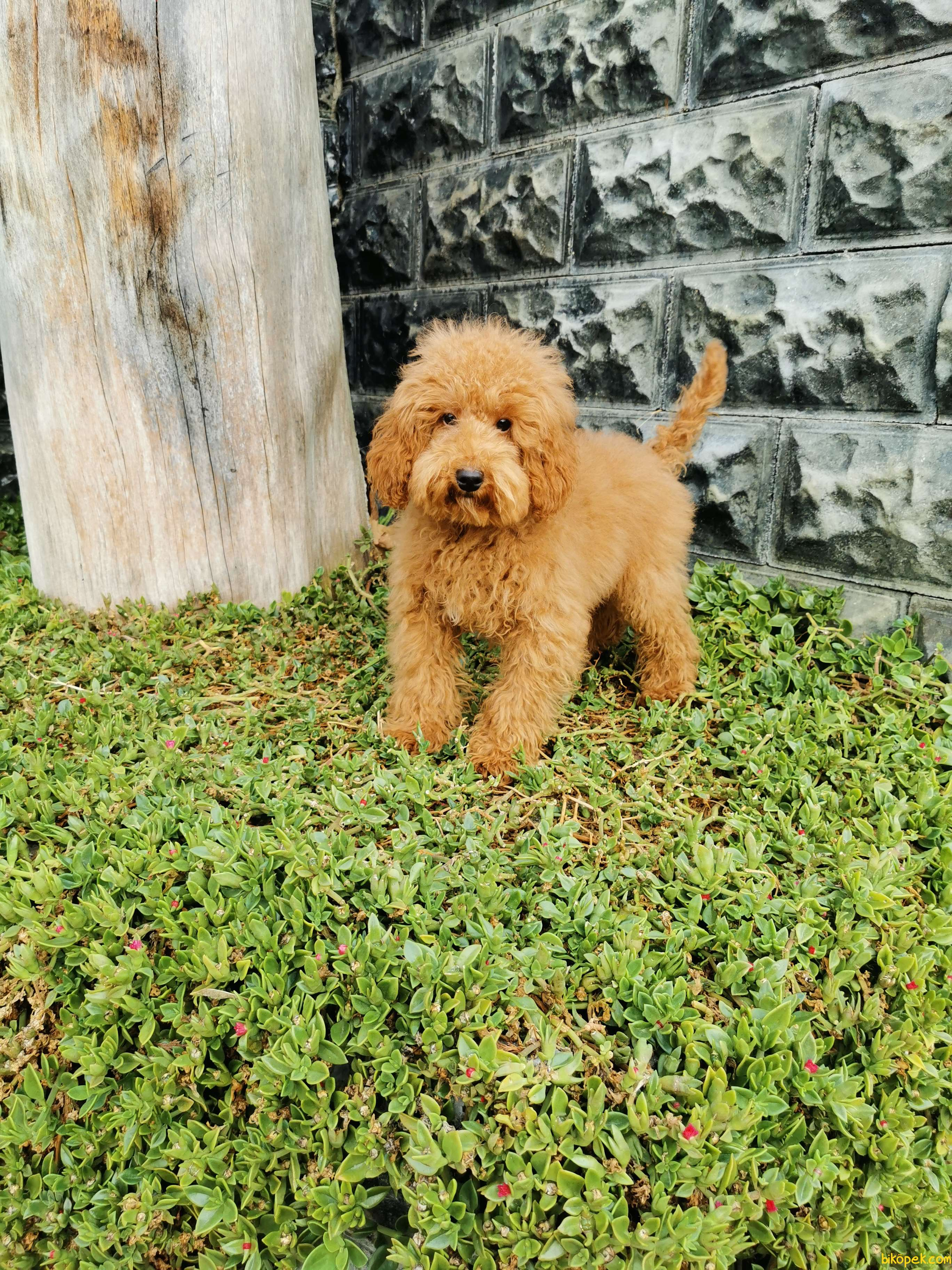 Red Brown Toy Poodle 1