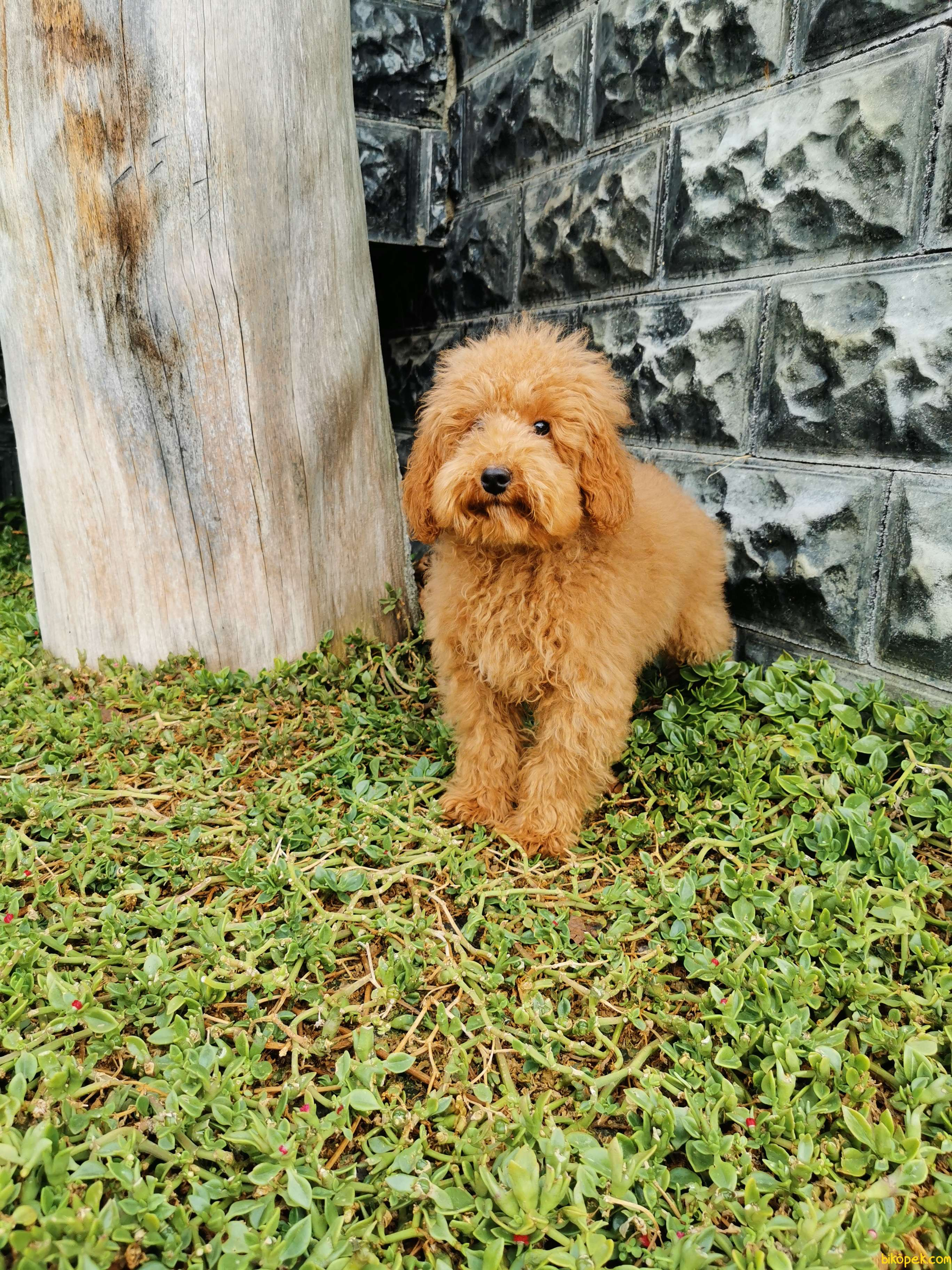 Red Brown Toy Poodle 5