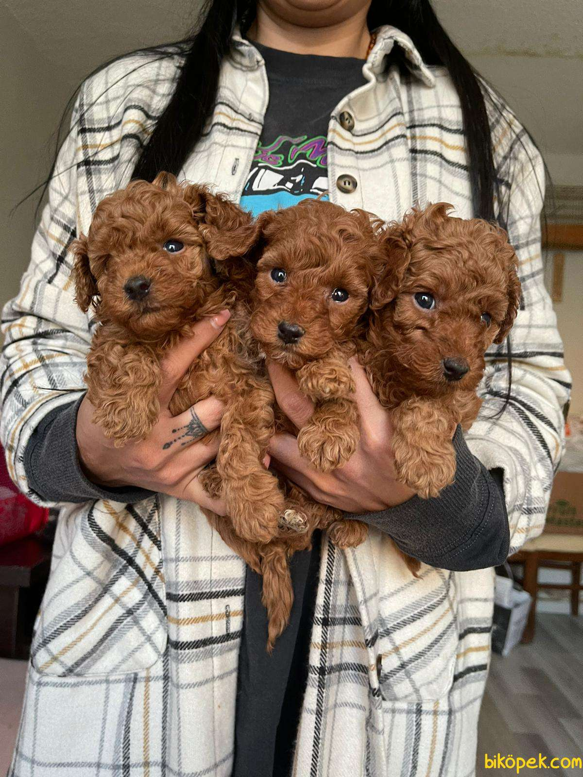 Red Brown Toy Poodle Yavrular 3