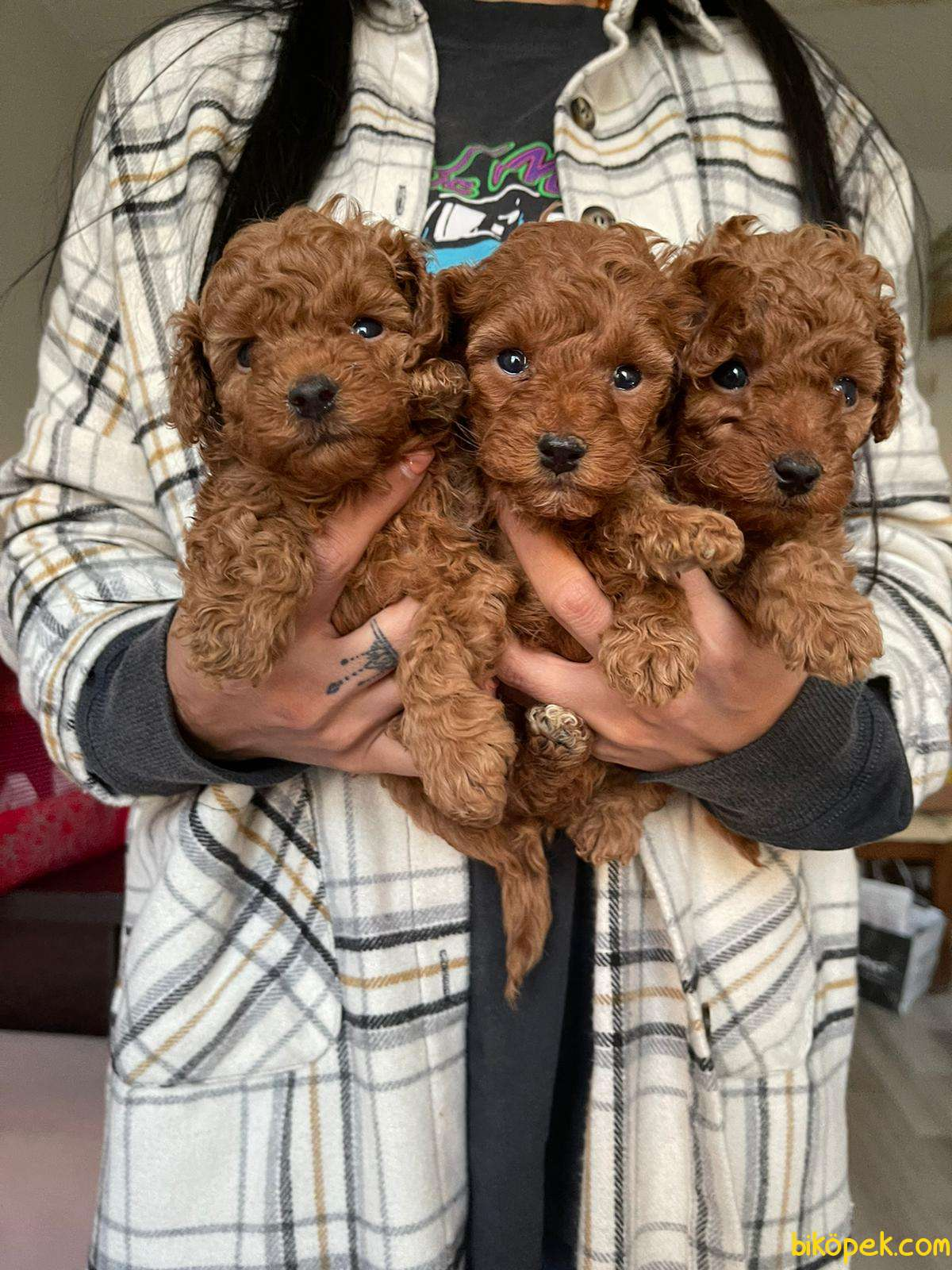 Red Brown Toy Poodle Yavrular 2