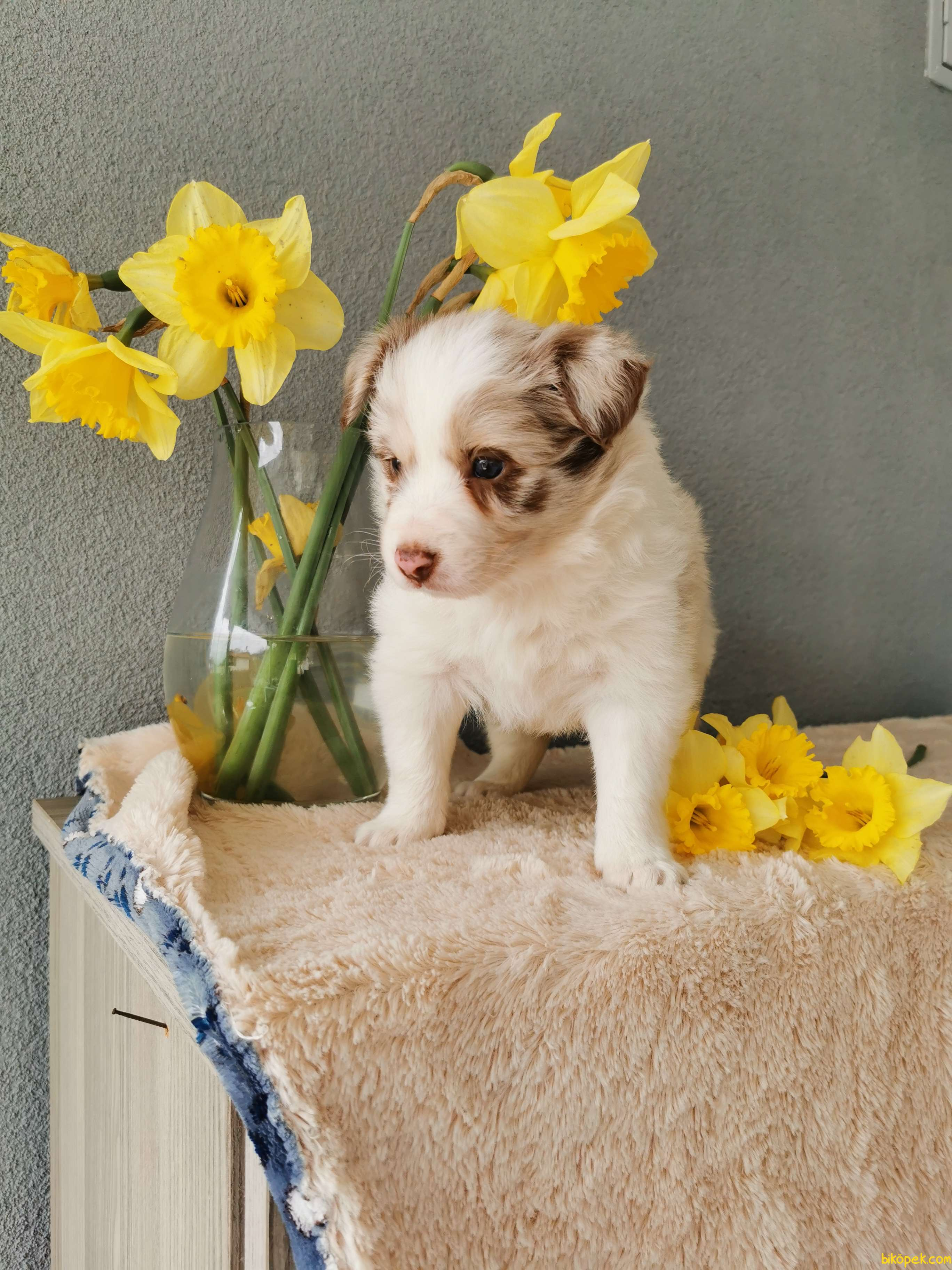 Red Merle Border Collie 5