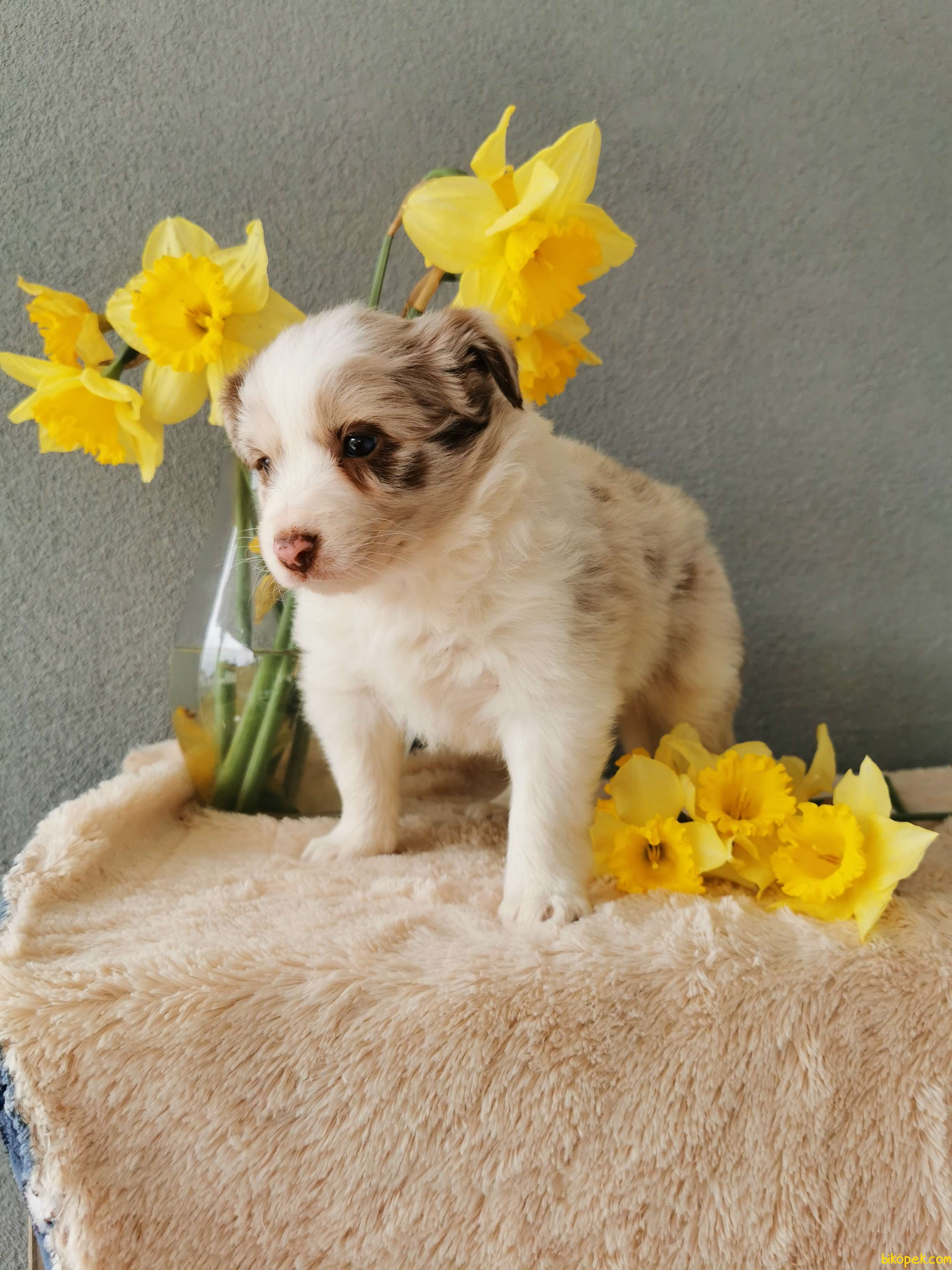 Red Merle Border Collie 3