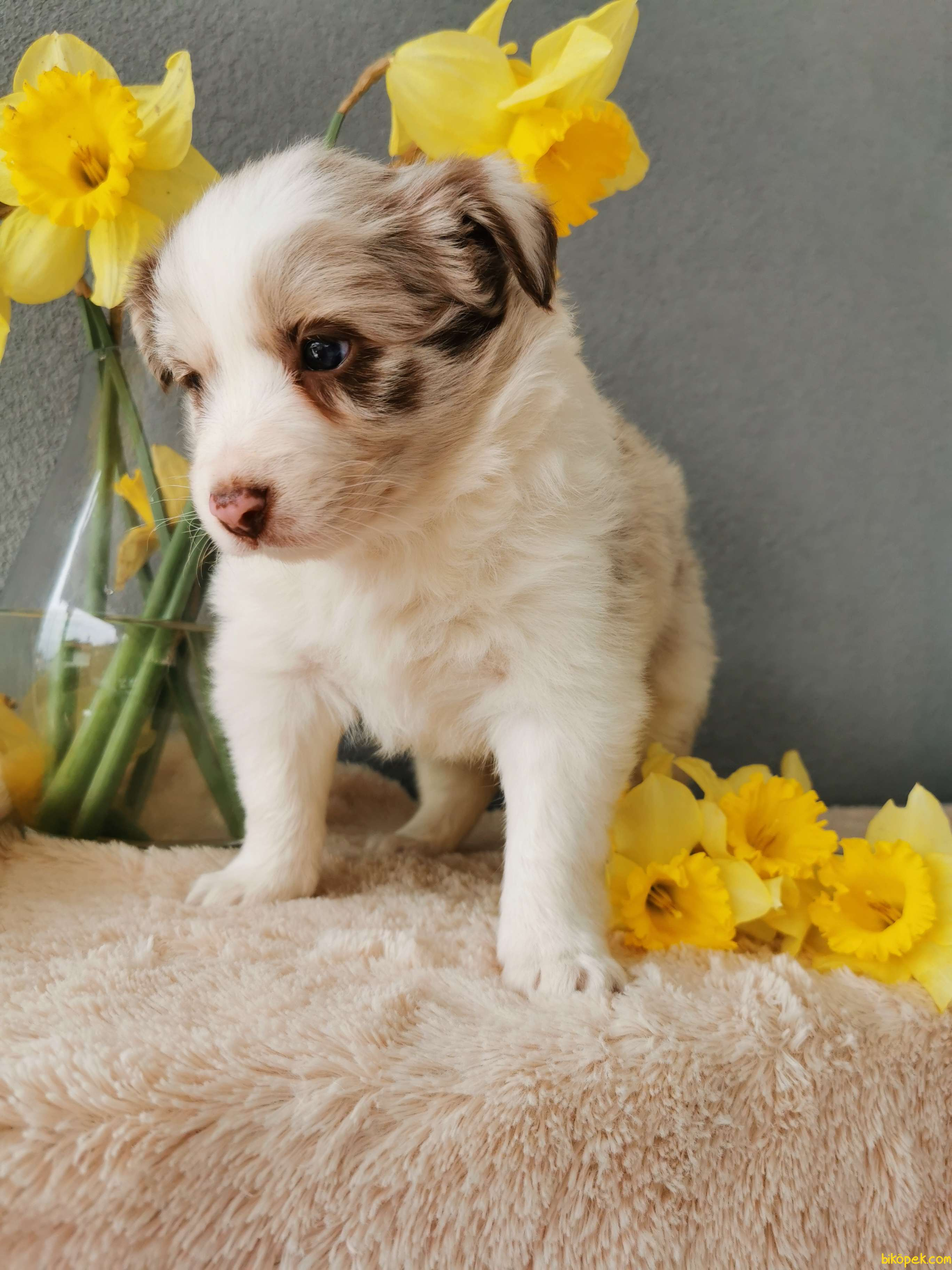 Red Merle Border Collie 1