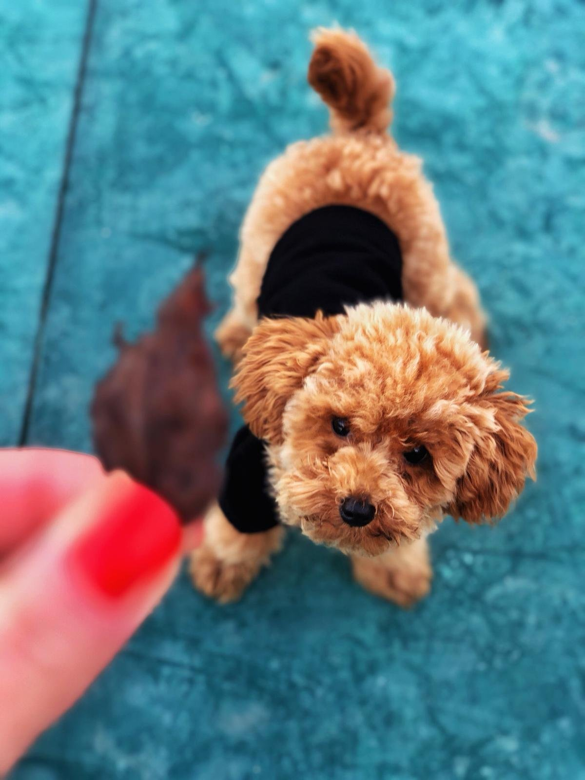 Red Toy Poodle  Yavrular 2