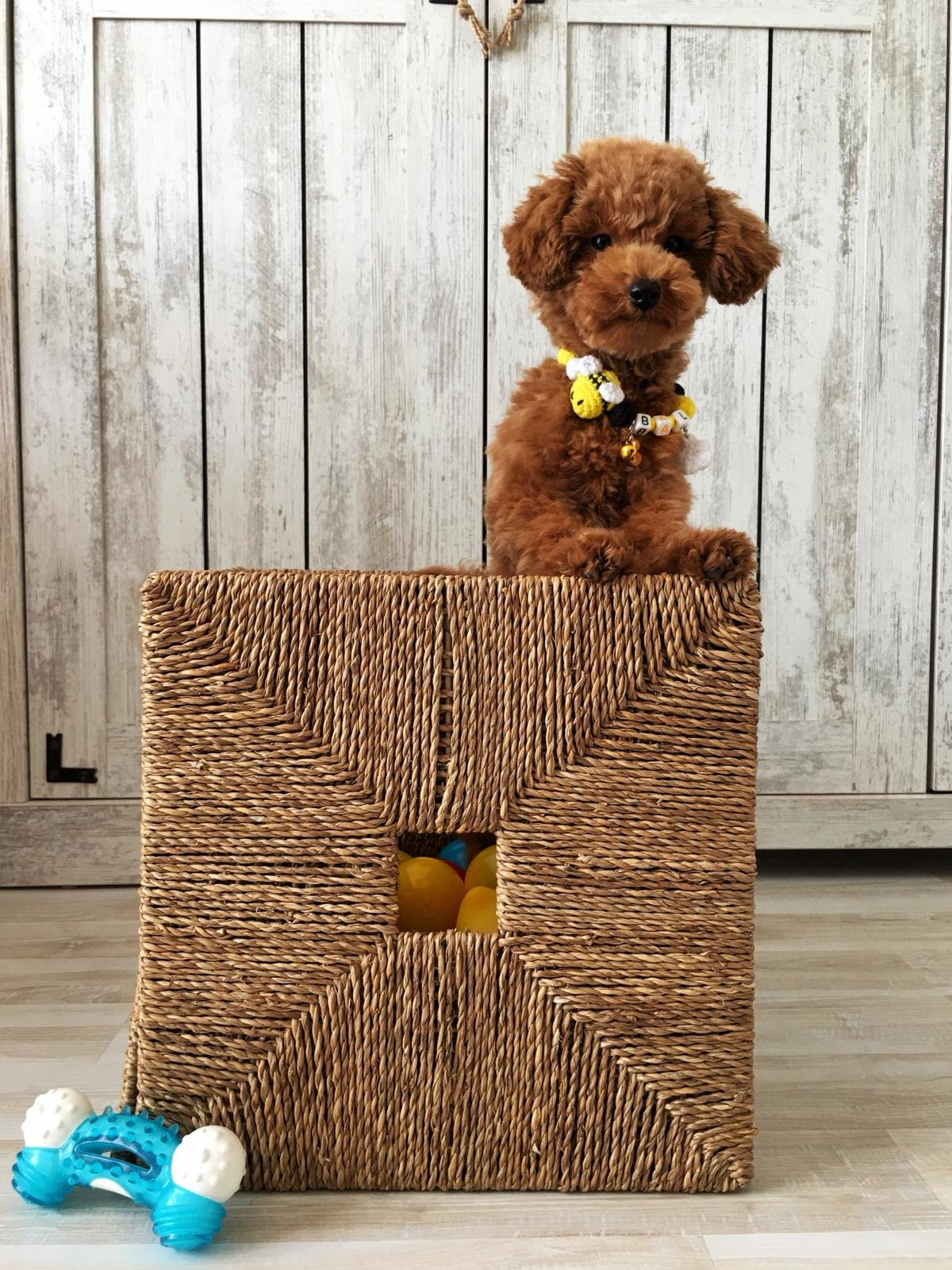 Red Toy Poodle  Yavrular 1