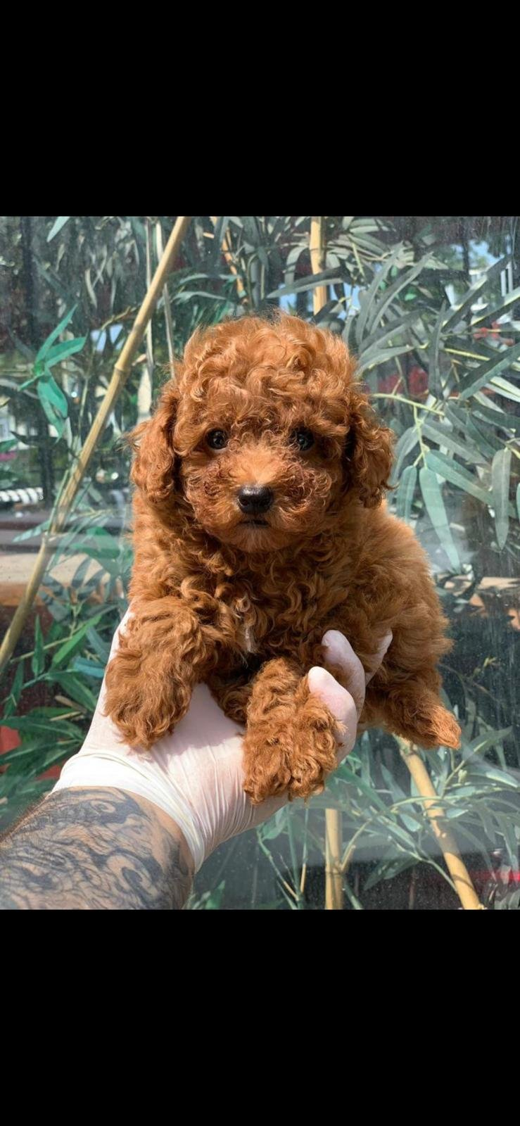 Red Toy Poodle  Yavrular 3