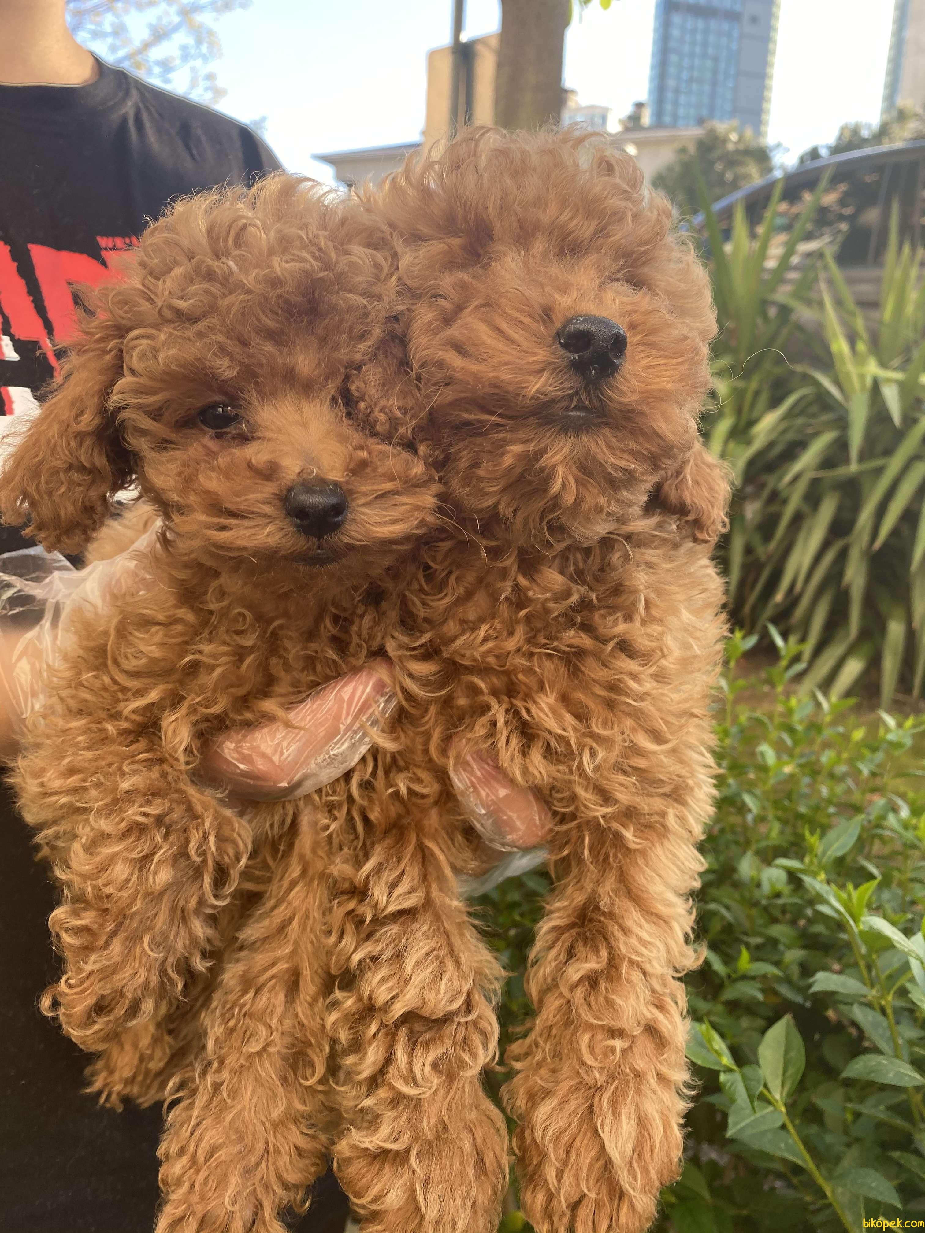 Redbrown Toy Poodle Gerçek Safkan Orjinal Garantli 4