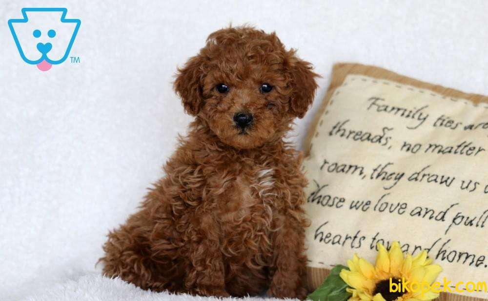 Redbrown Toy Poodle Gerçek Safkan Orjinal Garantli 2